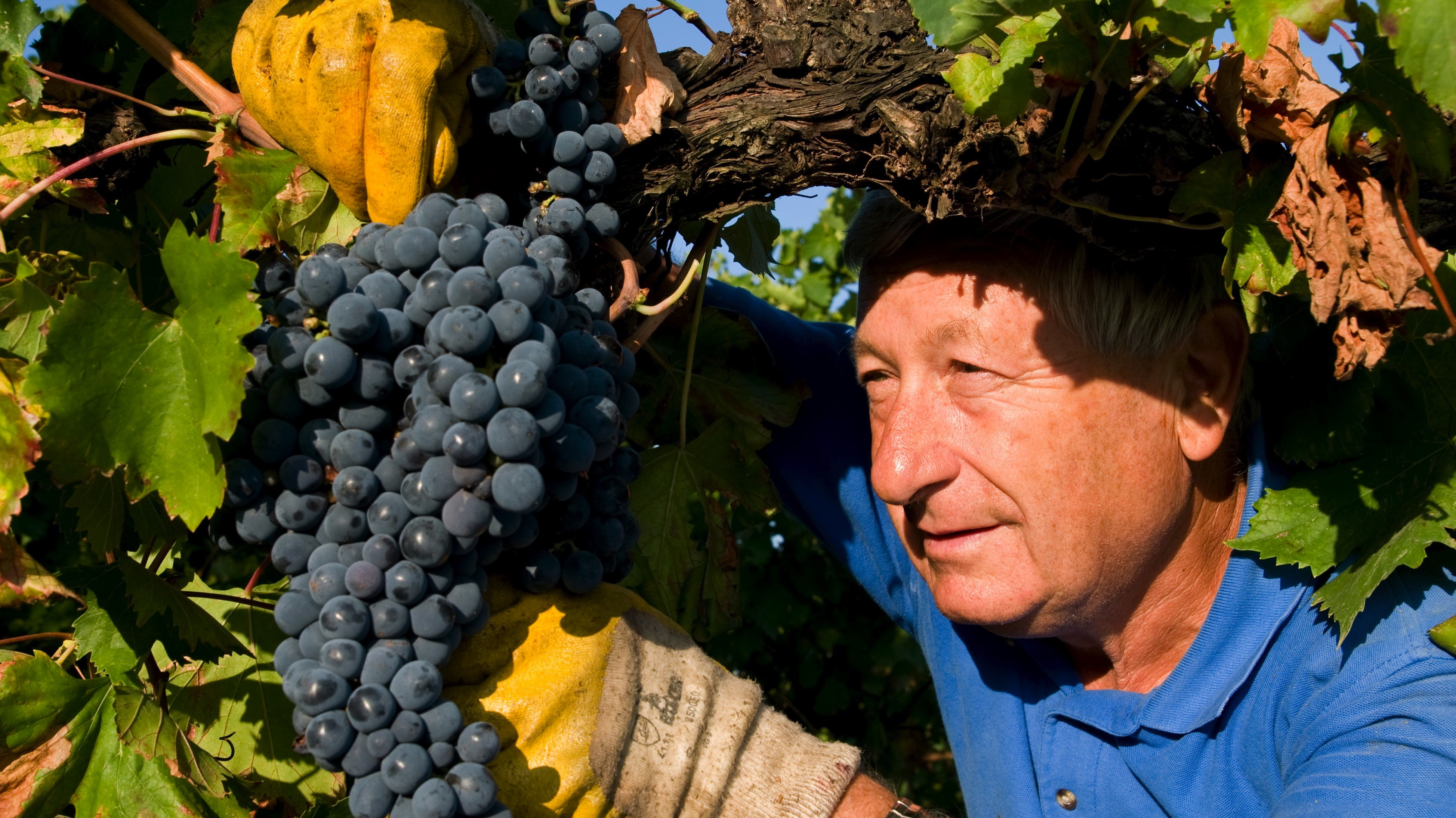 Sergio, a grape picker, snips a plump Sangiovese cluster at the Umberto Cesari vineyards.