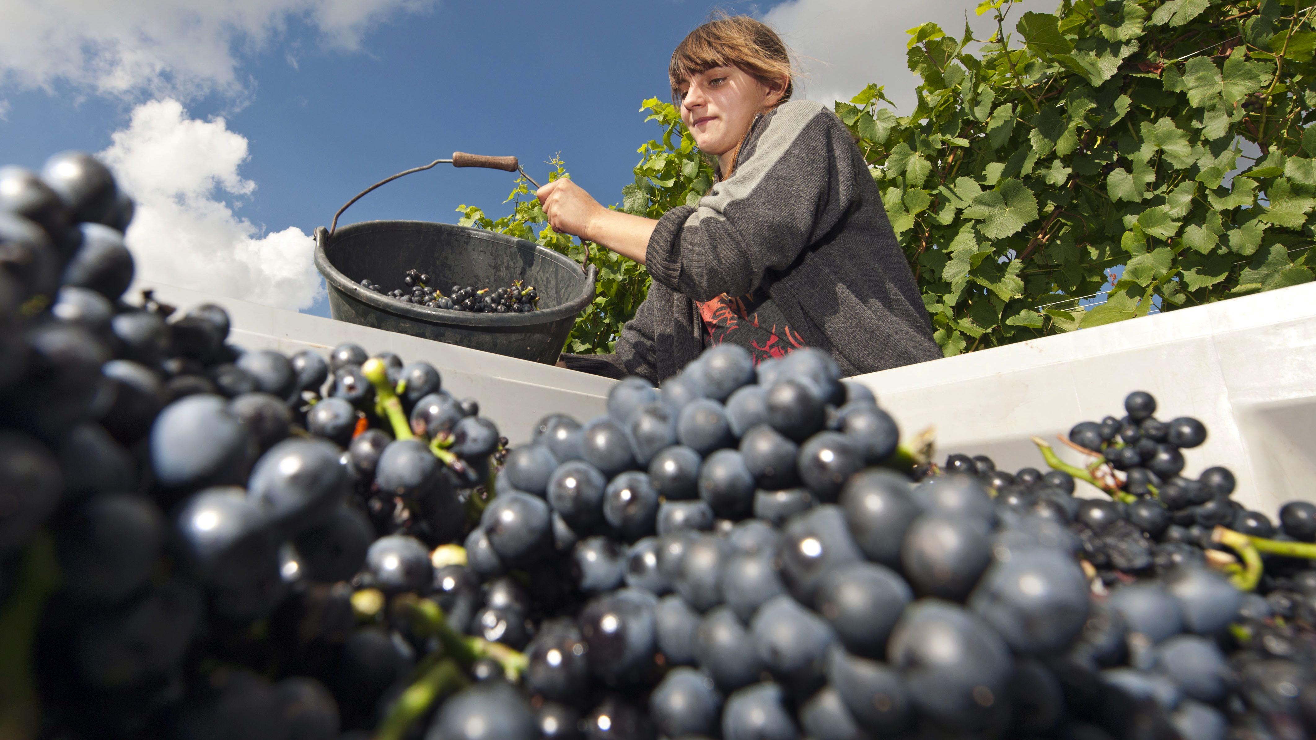wine harvest germany feat