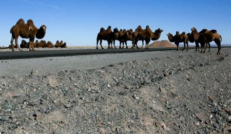 Camels near the Oyu Tolgoi Mine