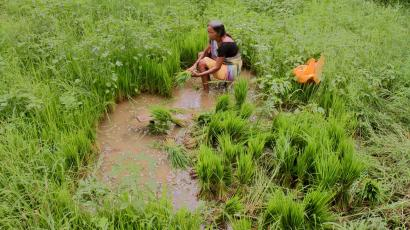 Indian farmer in a rice paddy