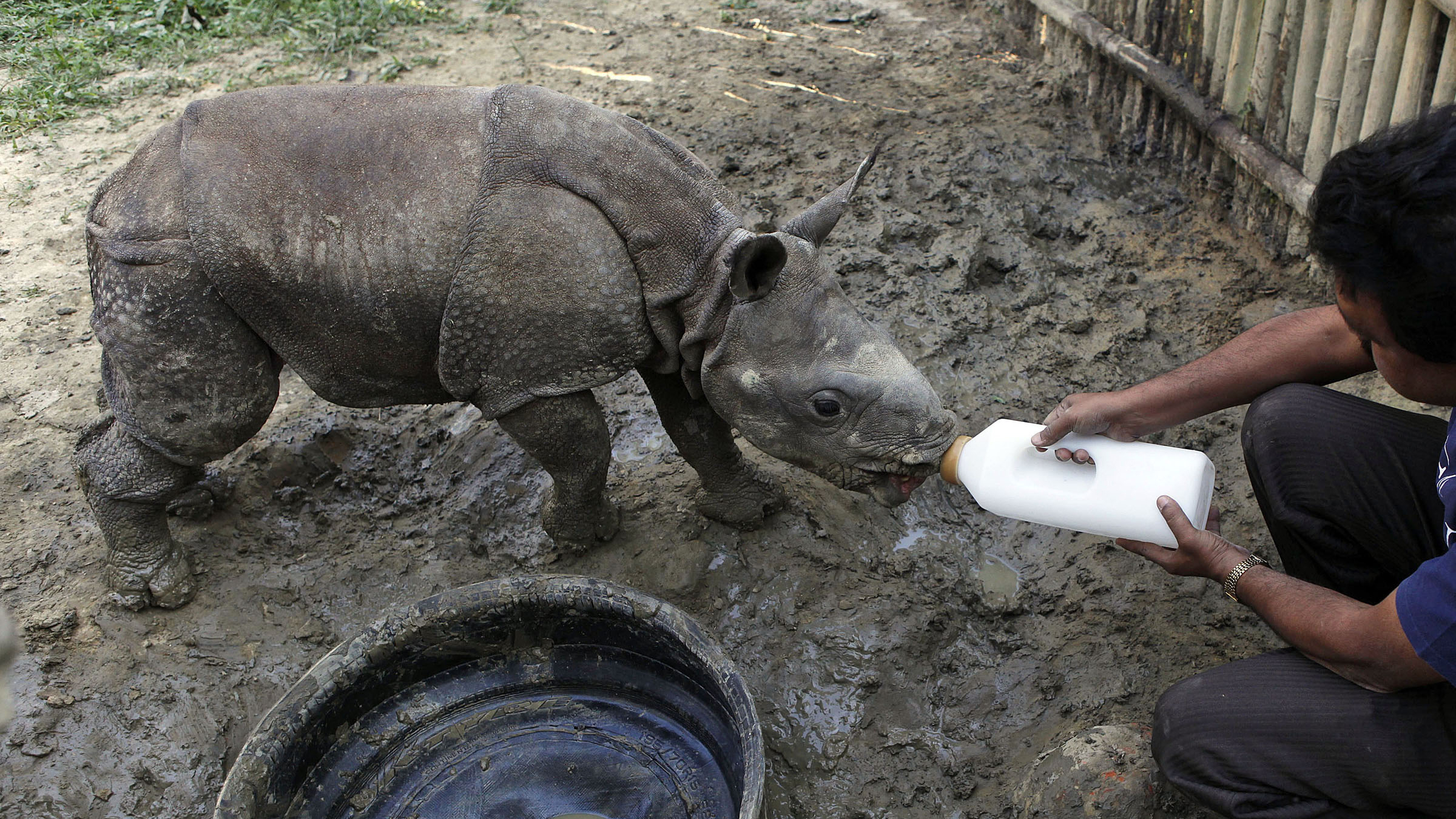 """In this Sunday, Dec. 2, 2012 photo, a park official feeds a two-and-half month old male orphan one-horned rhinoceros calf rescued during recent floods walks at a rehabilitation center inside the Kaziranga National Park, a wildlife reserve that provides refuge to more than 2,200 endangered Indian one-horned rhinoceros, in the northeastern Indian state of Assam. Even in this well protected reserve, where rangers follow shoot-to-kill orders, poachers are laying siege to """"Fortress Kaziranga,"""" attempting to sheer off the animals' horns to supply a surge in demand for purported medicine in China that's pricier than gold. A number of guards have been killed along with 108 poachers since 1985 while 507 rhino have perished by gunfire, electrocution or spiked pits set by the poachers, according to the park. (AP Photo/Anupam Nath"""