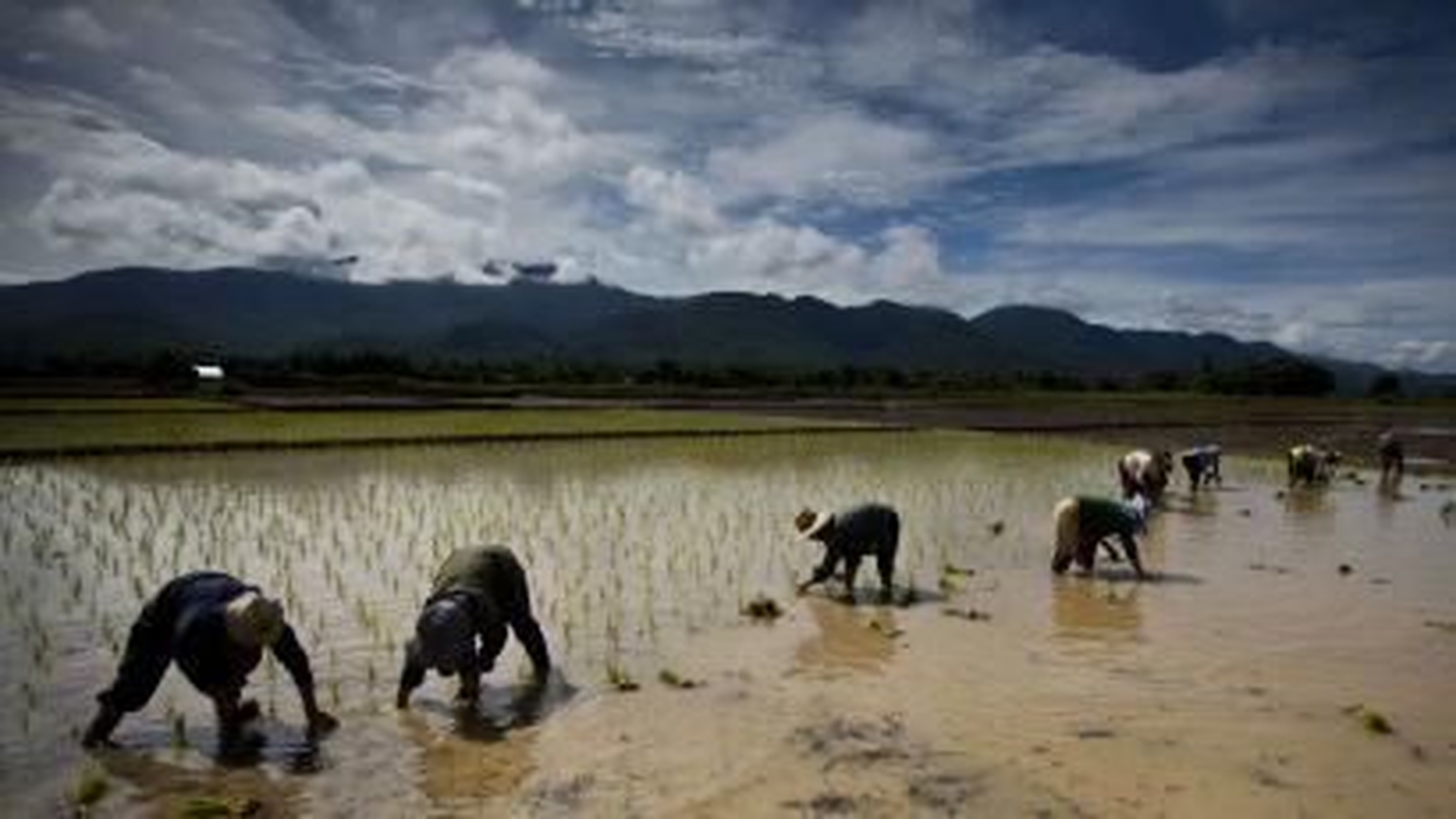 Rice crop in Thailand.