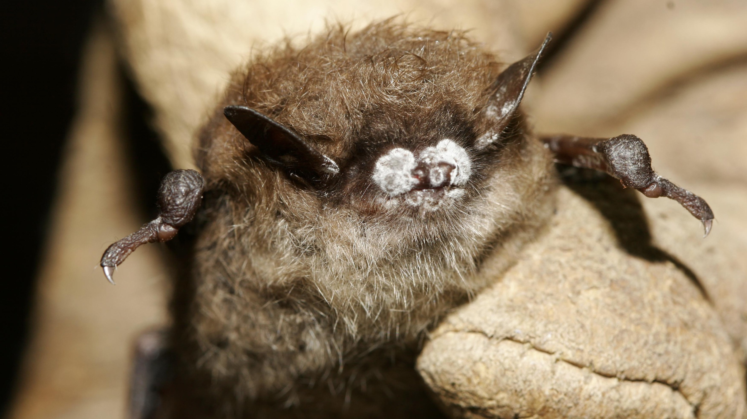 FILE - This October 2008 file photo provided by the New York Department of Environmental Conservation shows a little brown bat suffering from white-nose syndrome, with the signature frosting of fungus on its nose, found in a New York cave. The Illinois Department of Natural Resources said Thursday, Feb. 28, 2013, that the disease that has decimated bat populations in the eastern United States has been detected in four counties in far southern Illinois. (AP Photo/New York Department of Environmental Conservation, Ryan von Linden, File)