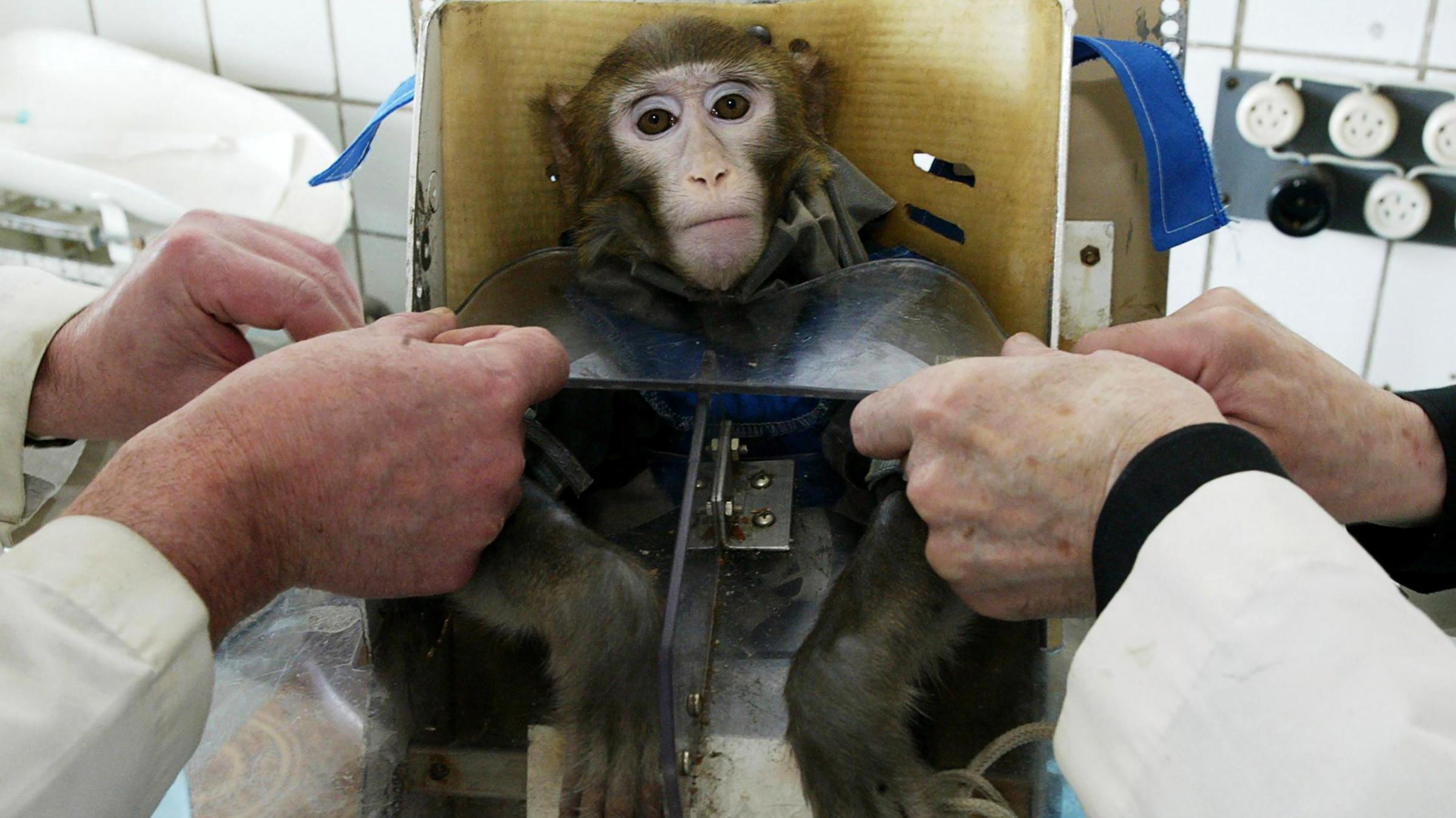 Monkey fastened to seat