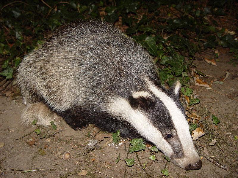 badger animal