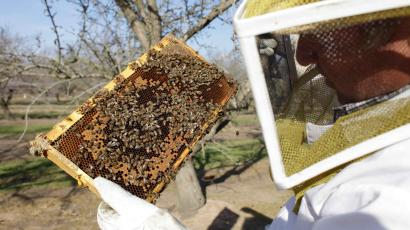 inspector inspecting a frame of bees