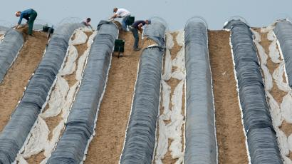 Workers harvest asparagus on a field near Linum, eastern Germany, Friday, April 26, 2013. (AP Photo/dpa, Marc Tirl