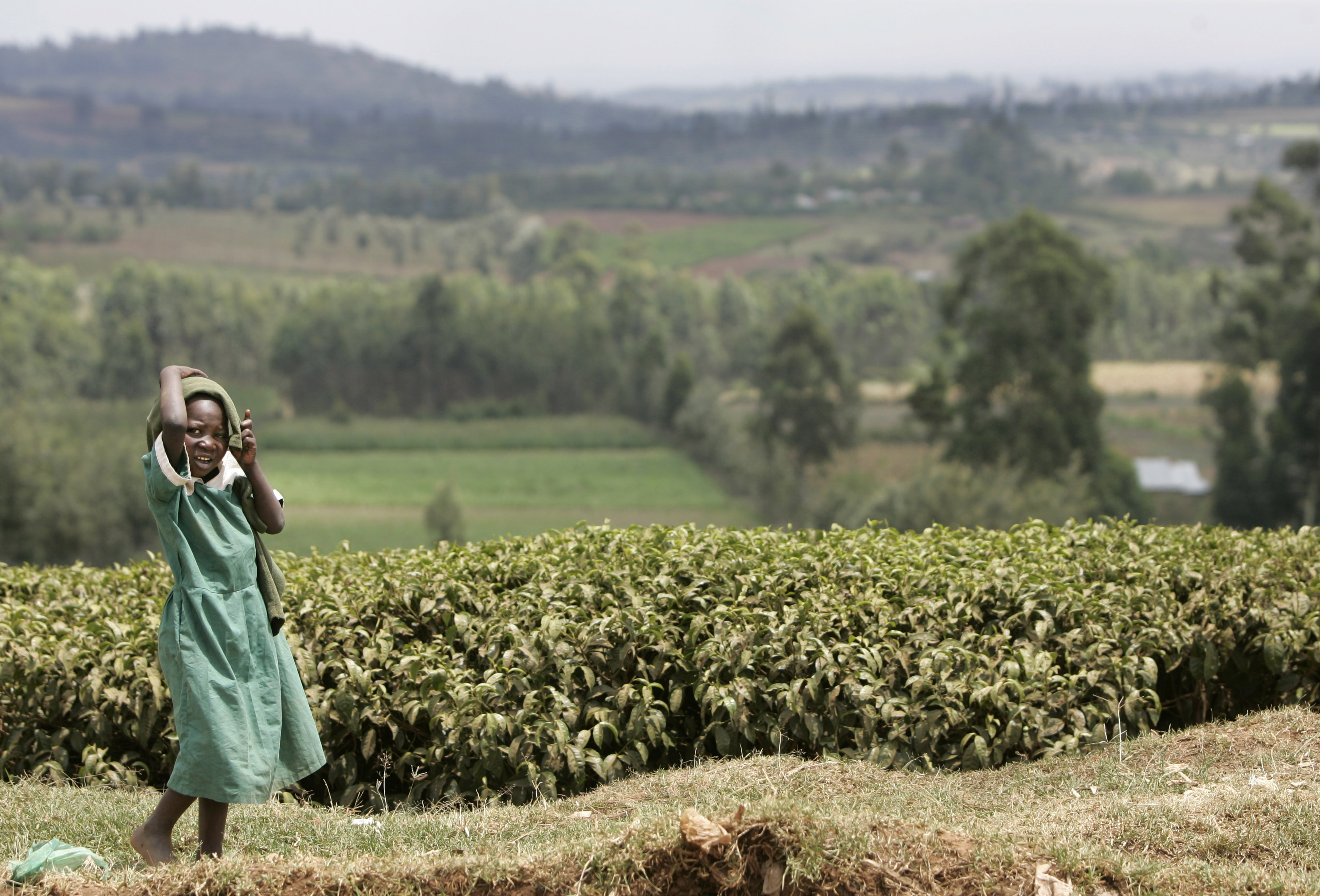 Kenyan and Sri Lankan tea farms now dominate the market