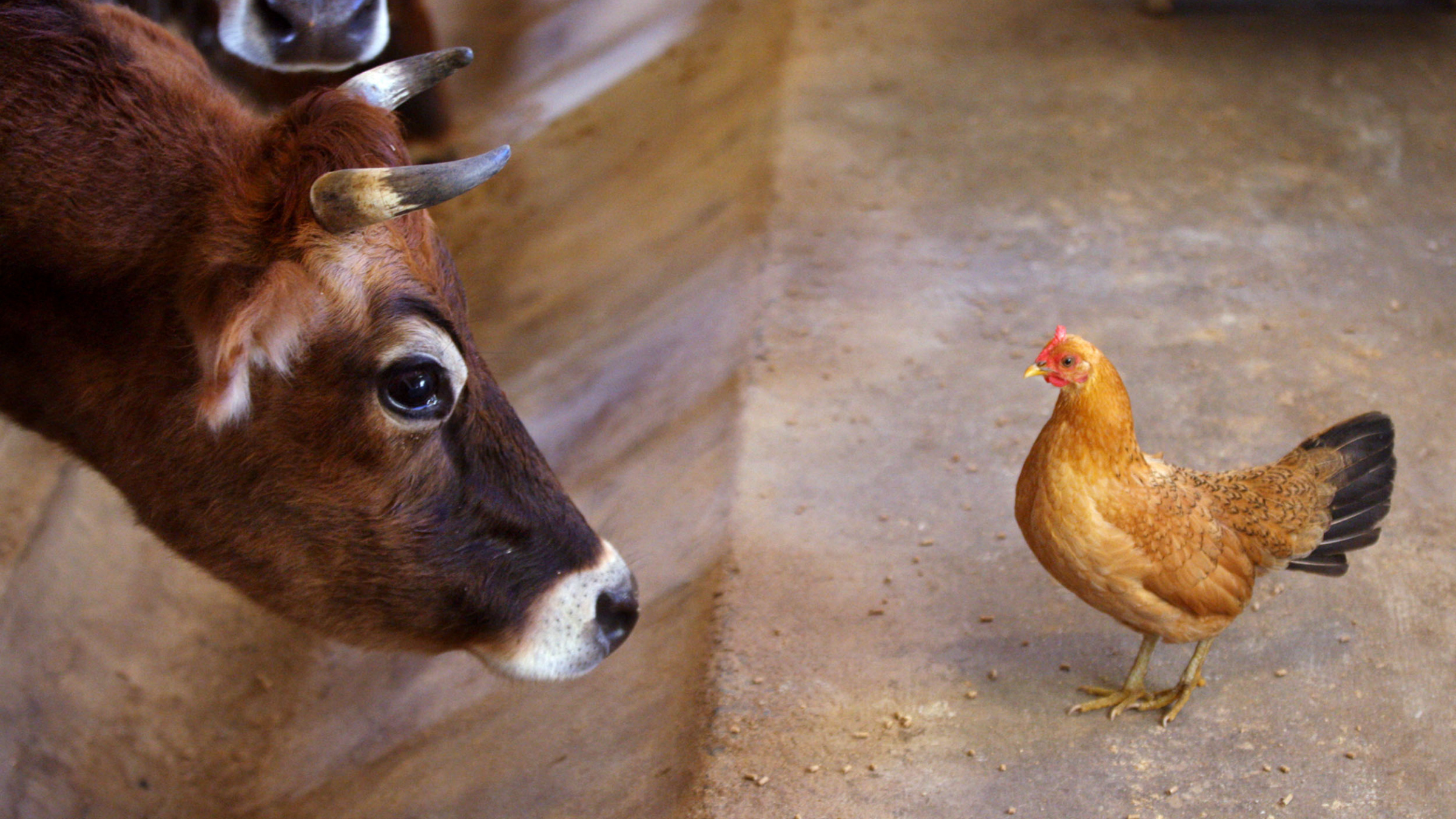Cow and chicken, face to face.