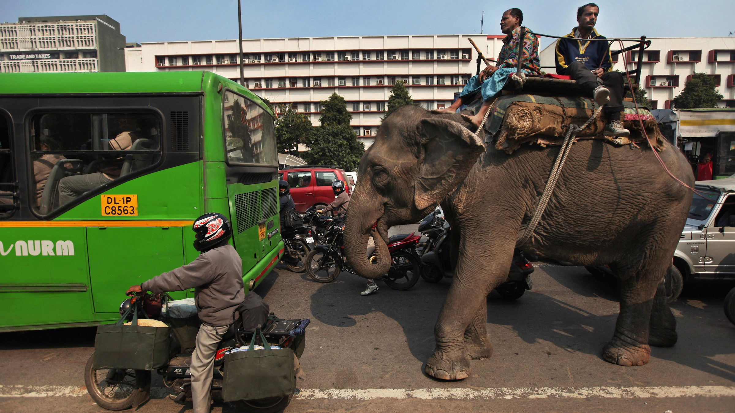 A domesticated elephant halts at a traffic intersection in New Delhi, India, Wednesday, Feb. 20, 2013. There are an estimated 28,000 wild elephants in India, along with thousands of domesticated ones that do everything from performing in shows to carrying heavy loads in the country's big cities. (AP Photo/Altaf Qadri)