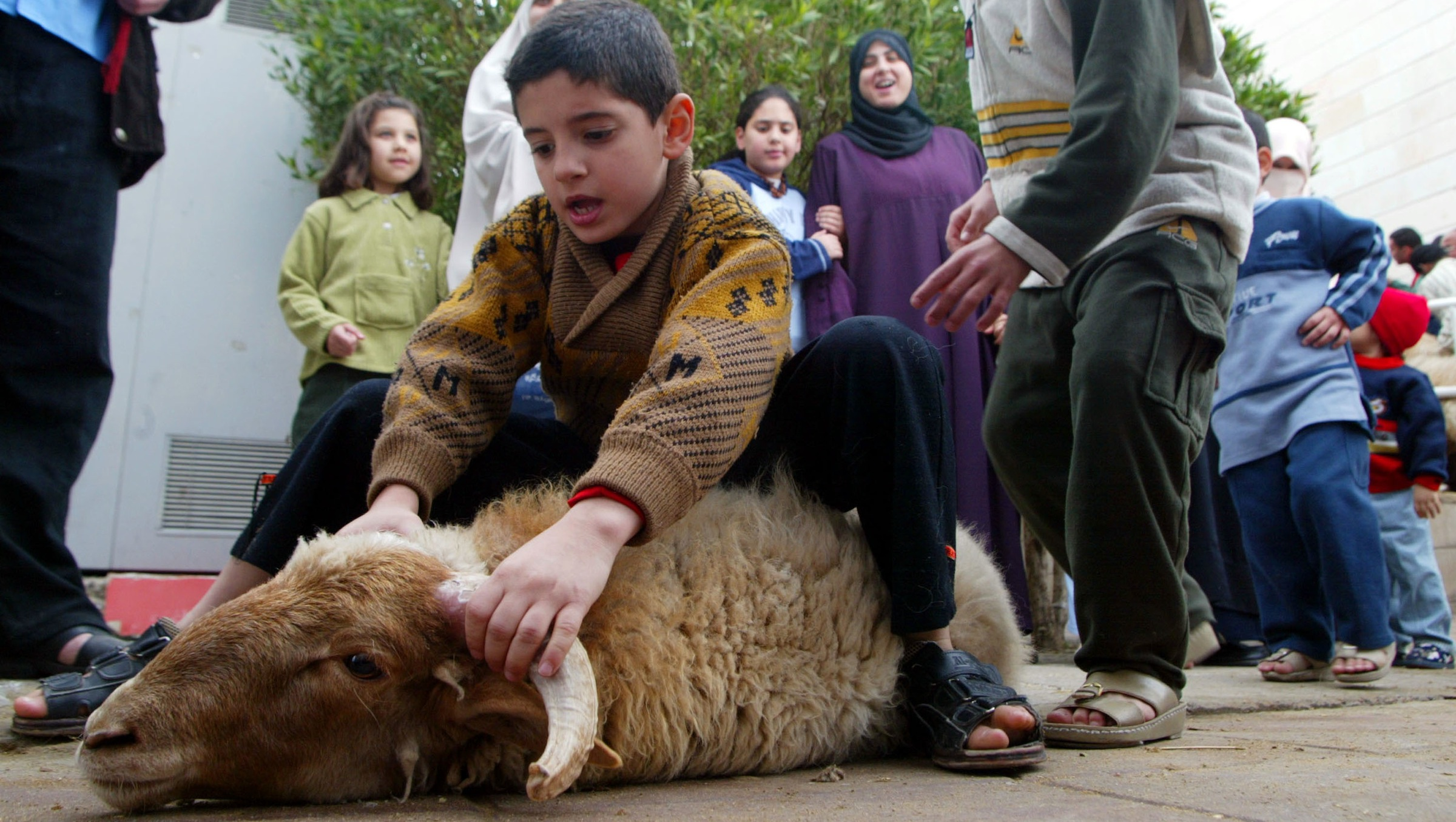 KUWAIT CITY, KUWAIT - FEBRUARY 11:  A child tries to control a sheep that he is bringing to the slaughter house for butchering for the traditional Eid El Adha meal February 11, 2003 in Kuwait City, Kuwait. The Eid El Adha, also known as the Feast of Sacrifice, is a major Muslim four-day holiday that falls at the end of the annual Mecca pilgrimage.  (Photo by Joe Raedle/Getty Images)