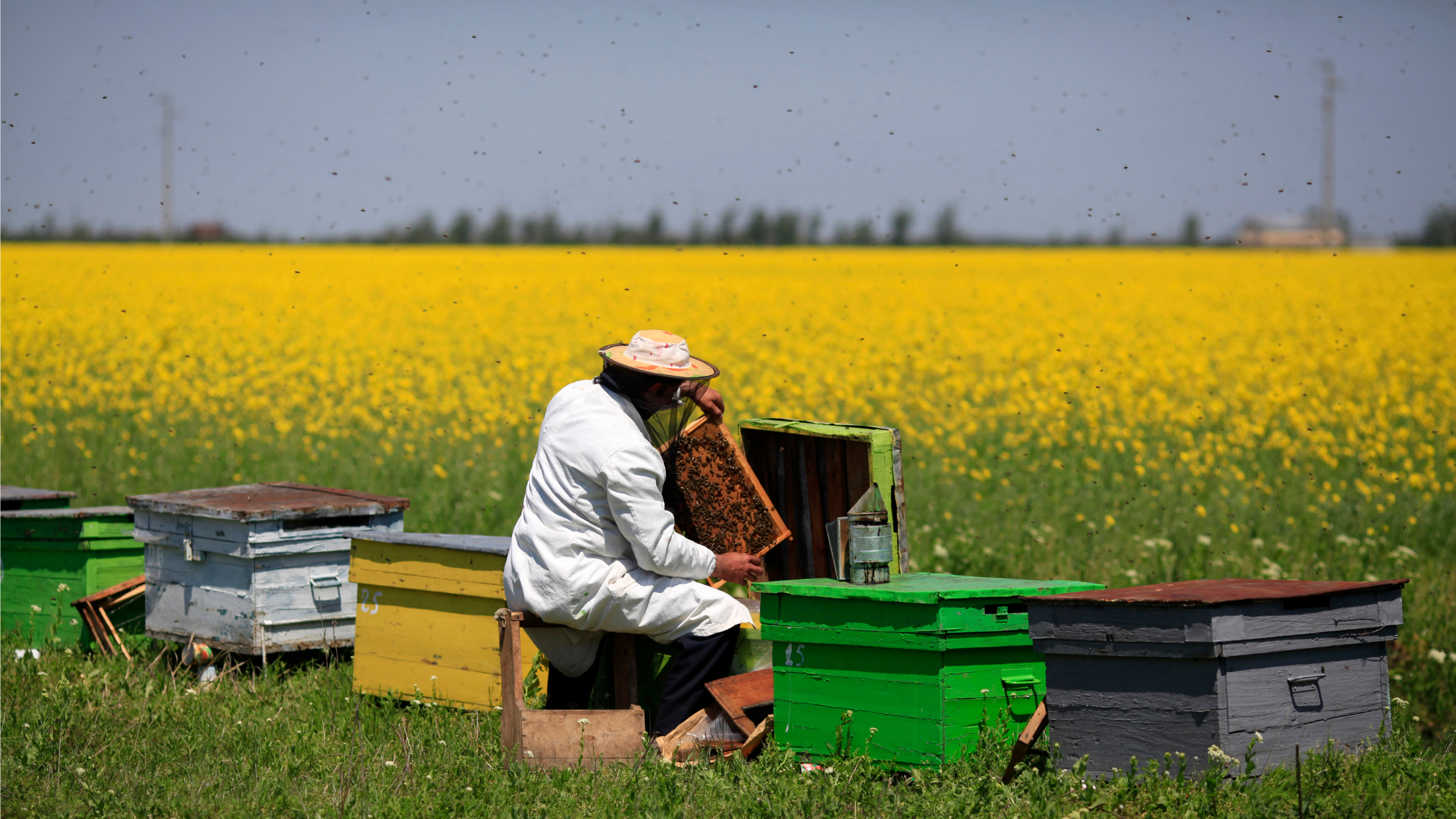 A beekeeper takes care of his hives in a field of rapeseed.