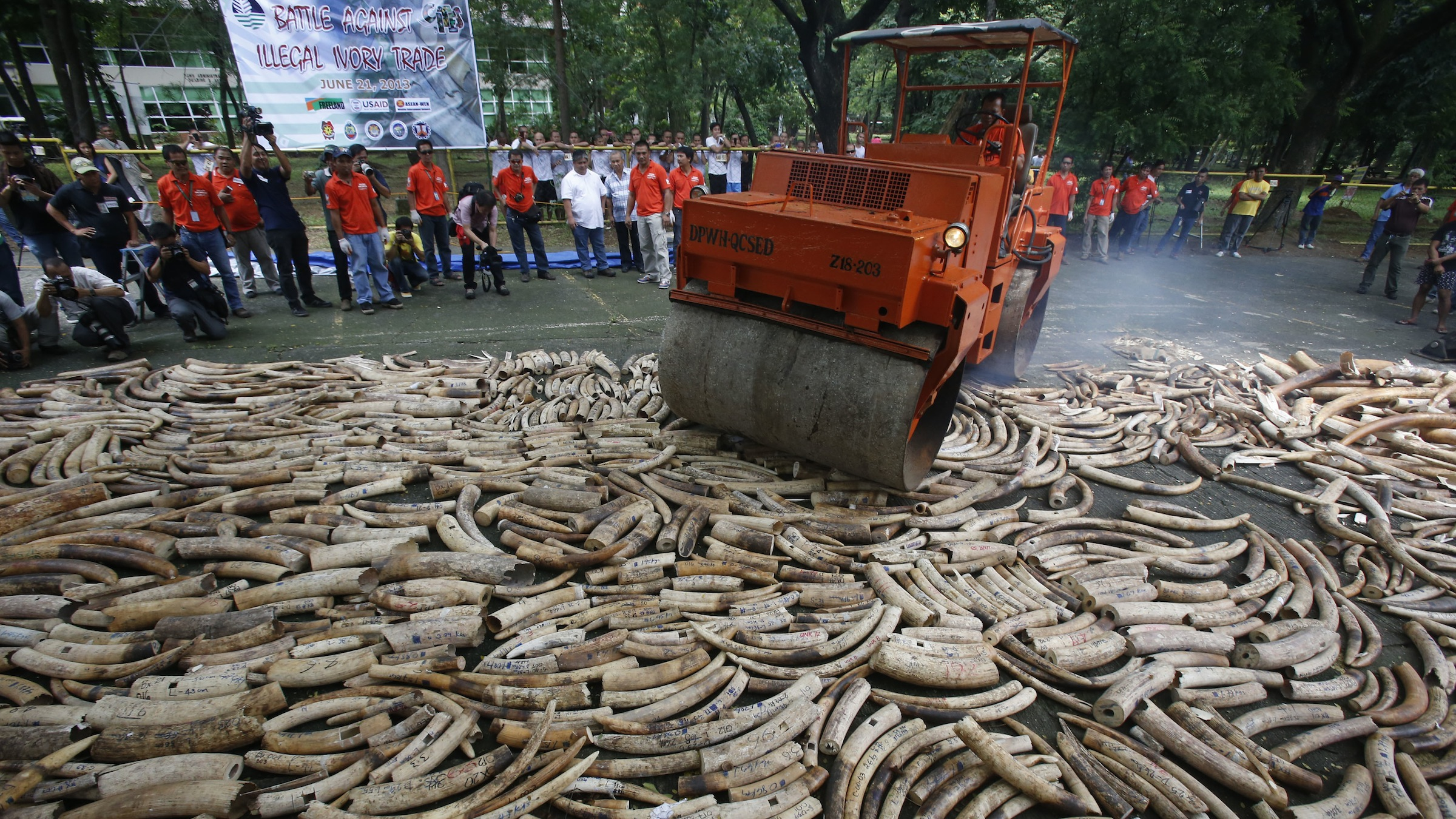 A road roller crushes smuggled elephant tusks, that had been confiscated, at the Parks and Wildlife center in Quezon City, Metro Manila on June 21, 2013. The Philippine government destroyed on Friday at least five tonnes of smuggled elephant tusks, making the Philippines the first country in Asia to conduct physical destruction of massive ivory stockpiles in support of government efforts to stamp out illegal wildlife trade, a statement from Department of Environment and Natural Resources said.  REUTERS/Erik De Castro (PHILIPPINES - Tags: SOCIETY ENVIRONMENT CRIME LAW TPX IMAGES OF THE DAY ANIMALS) - RTX10VV0