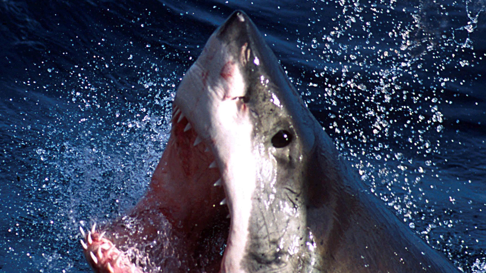 An undated photo - of a Great White shark which can now be repelled by a electronic shark shield. An Australian firm unveiled on March 27, 2002 an electronic shark repellant unit which when attached to swimmers legs, emits an electronic field to
