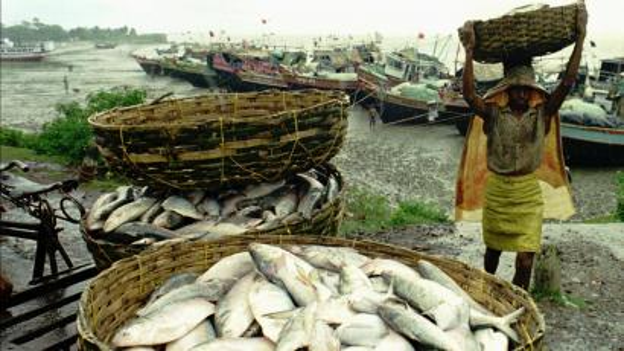 Hilsa fish fishing