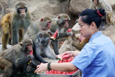 A Chinese worker distributes watermelon slices to monkeys to cool them down at XiAn Qinling Zoological Park on a scorching day in XiAn city, northwest Chinas Shaanxi province, 9 July 2013. Many parts of China have been in the grip of a heat wave. The blue alert for high temperatures issued by meteorological authorities remains in effect across the country. Temperatures in a number of Chinese cities soared to between 37 to 38 degrees Celsius.(Imaginechina via AP Images