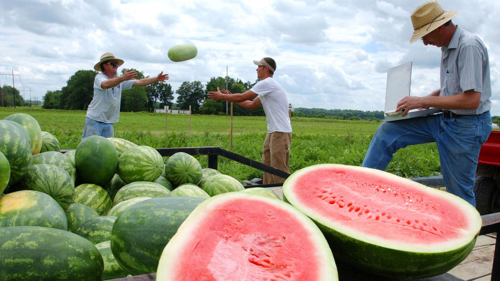 Image result for World's Largest Watermelon Farm. - Tons of Watermelon Growing