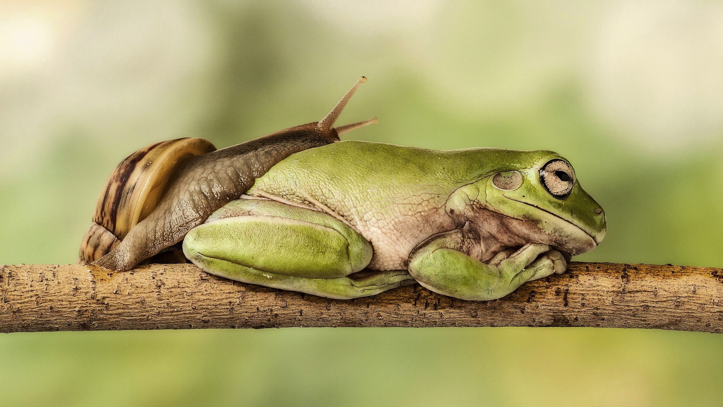 """Snail Enjoys Slowest Game Of Leapfrog Ever This snail enjoys a long game of leapfrog as it takes eight minutes to calmly climb over a croaker before reaching its destination.  The frog was enjoying an afternoon nap, minding its own business high up in a branch, when the snail decided to interrupt its snooze.  Approaching the snoozing amphibian the quick-thinking snail clearly decided that the only way to reach its destination was to slide over the frog, which took it eight long minutes.  Photographer Lessy Sebastian, from Jakarta, Indonesia, captured the rare moment in his front garden.  A number of green tree frogs live in the pond underneath the branch in question and often jump up to enjoy the shade while they sleep.  The 49-year-old said: """"I bought green tree frogs from a reptile store and they love playing in the pond outside my house.  """"When I went outside I noticed one of the frogs was sleeping on a branch above the pond and a snail was moving very slowly nearby.  """"I couldn't believe it when the snail started to climb up onto the frog, and it was more surprising when the frog stayed still while it slept.  """"I immediately grabbed my camera and the snail was on his back and snapped away until the snail travelled down the frog.""""  The father-of-two was thrilled with the results and is pleased when people smile at his photographs.  He added: """"When I saw the photographs on my computer I was delighted with the end result - the pictures remind me of a double-decker bus.""""  """"It looks like the snail and frog are good friends and everyone that has seen them loves the photographs.""""  MUST CREDIT PHOTOS BY: Lessy Sebastian / Solent News / Rex Features  For more information visit http://www.rexfeatures.com/stacklink/KHQATJGIT (Rex Features via AP Images)"""