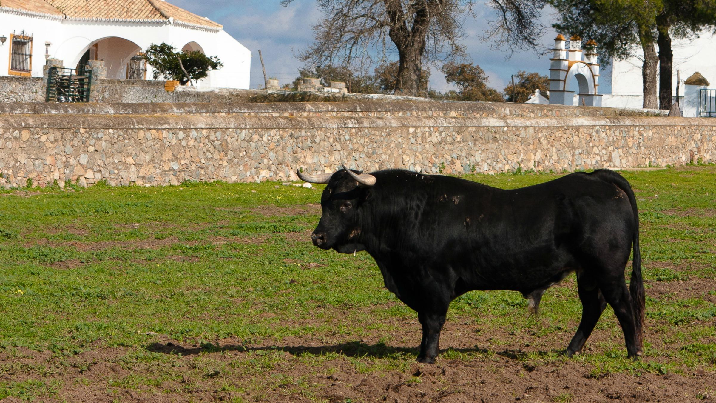 Arbour - bull 2
