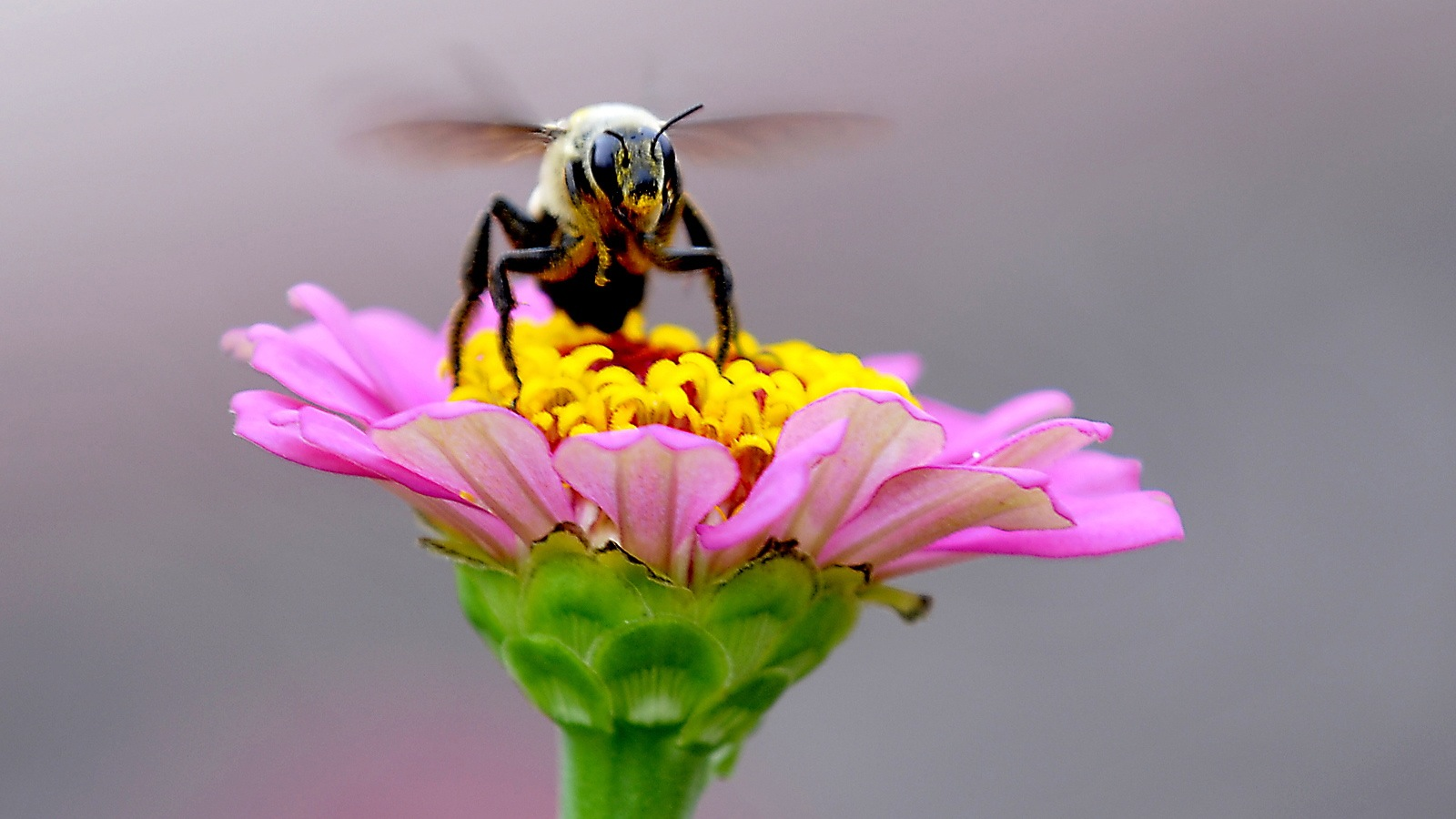 A pollen covered bee takes off from a flower at Dillingham Garden Thursday July 25, 2013 in Enid, Oklahoma. (AP/Enid News & Eagle, Billy Hefton)