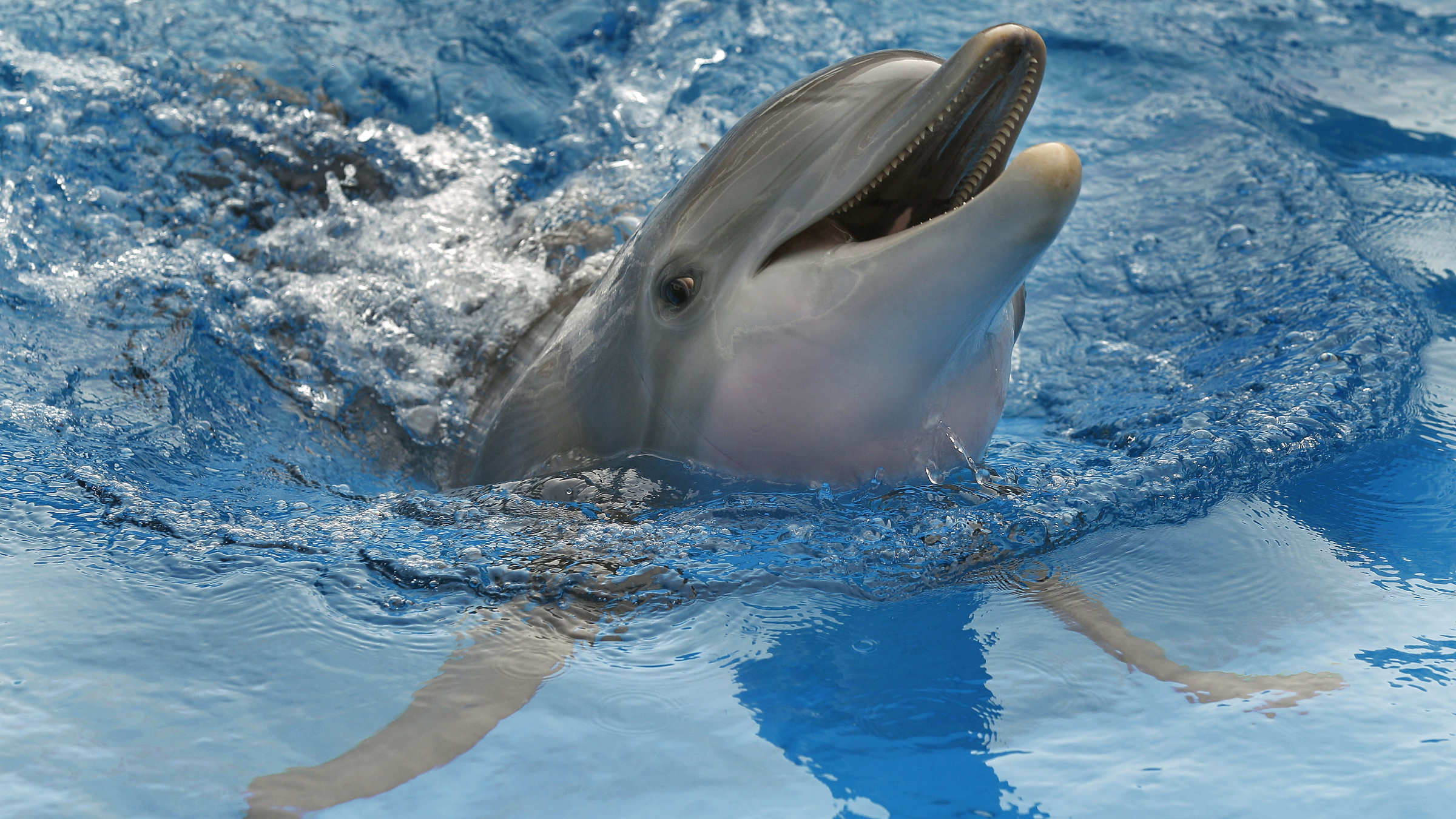 "In this Aug 31 photo, Winter the dolphin swims in a tank in Clearwater, Fla. The nonprofit public aquarium was about ready to go belly-up at the end of 2005 when Winter, the bottlenose dolphin was brought there after getting her tail tightly entangled in a crab-trap line. Winter plays herself in ""Dolphin Tale,"" a family-friendly 3-D movie starring Harry Connick Jr., Morgan Freeman, Ashley Judd and Kris Kristofferson, opening Sept. 23.(AP Photo/Chris O'Mear"