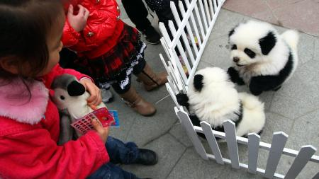 Kids look at two chow chows which look like pandas with special make-up during a pet dog winter sports games in Chengdu city, southwest Chinas Sichuan province, 3 December 2011. Organized by the Chengdu Dog Breeding Association, the winter sports games attracted more than 100 local residents and their pet dogs.(Imaginechina via AP Images
