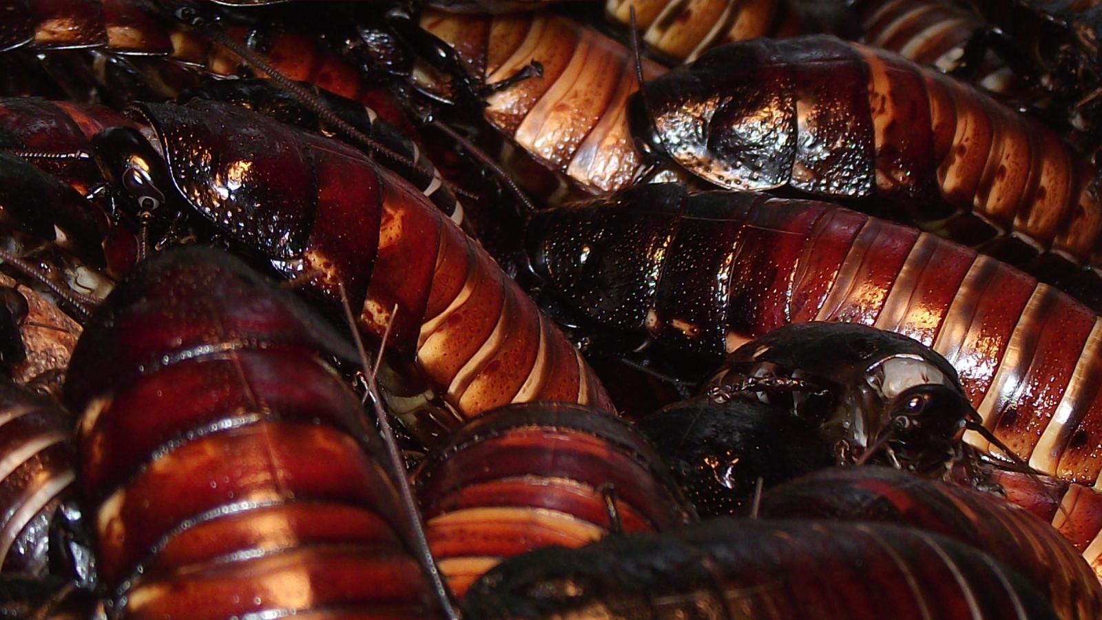 Chinese cockroach farmers are making a bundle selling