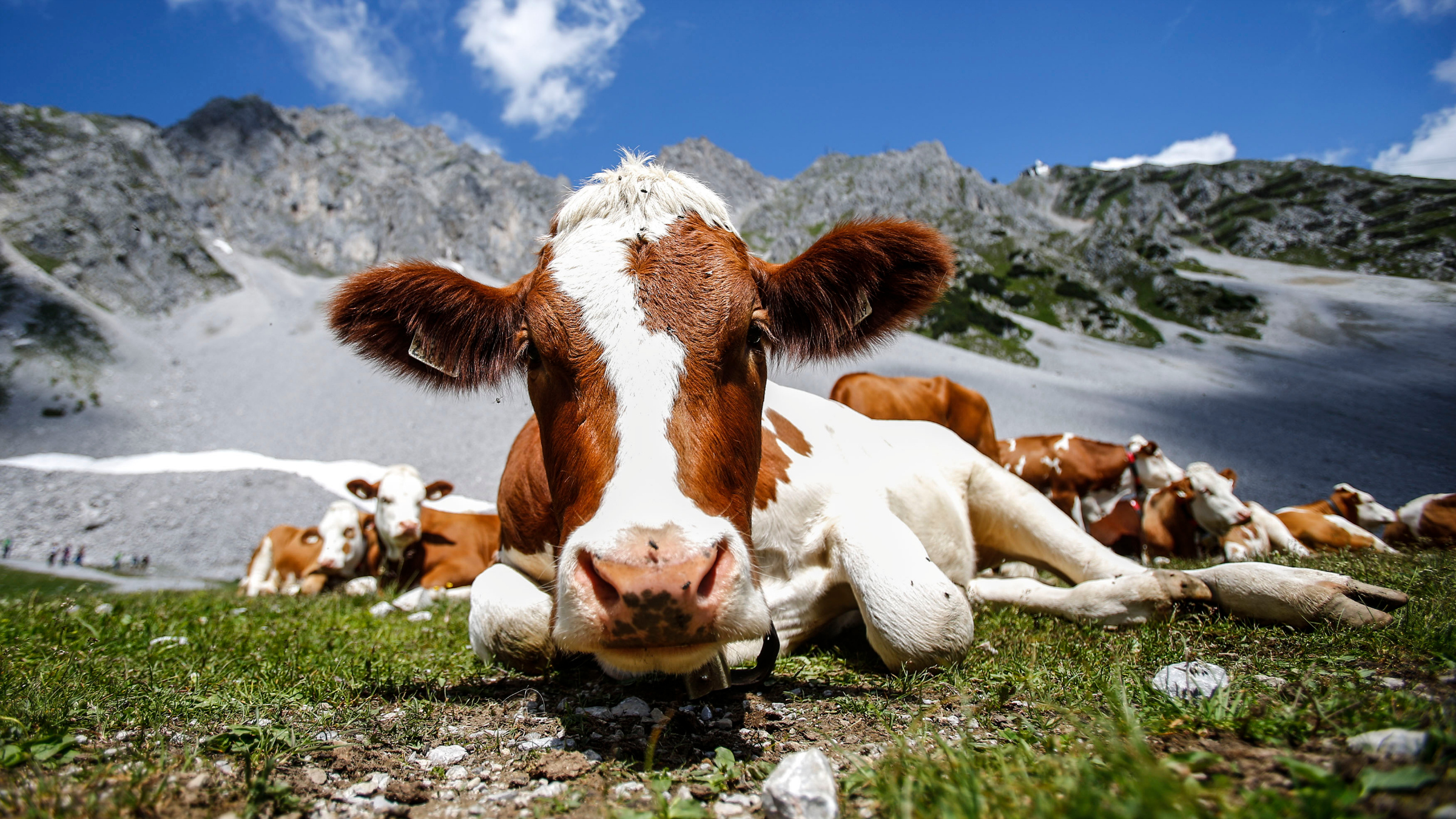 Cattle Climate Change