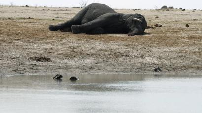 The carcass of an elephant which was killed after drinking poisoned water, lies near a water hole in Zimbabwe's Hwange National Park, about 840 km (522 miles) east of Harare, September 27, 2013. Zimbabwean ivory poachers have killed more than 80 elephants by poisoning water holes with cyanide, endangering one of the world's biggest herds, a minister said on Wednesday. Environment minister Saviour Kasukuwere said the elephants had died in the last few weeks in the Hwange national park, the southern African nation's largest, while security forces were preoccupied with a July 31 general election. Picture taken September 27, 2013. REUTERS/Philimon Bulawayo