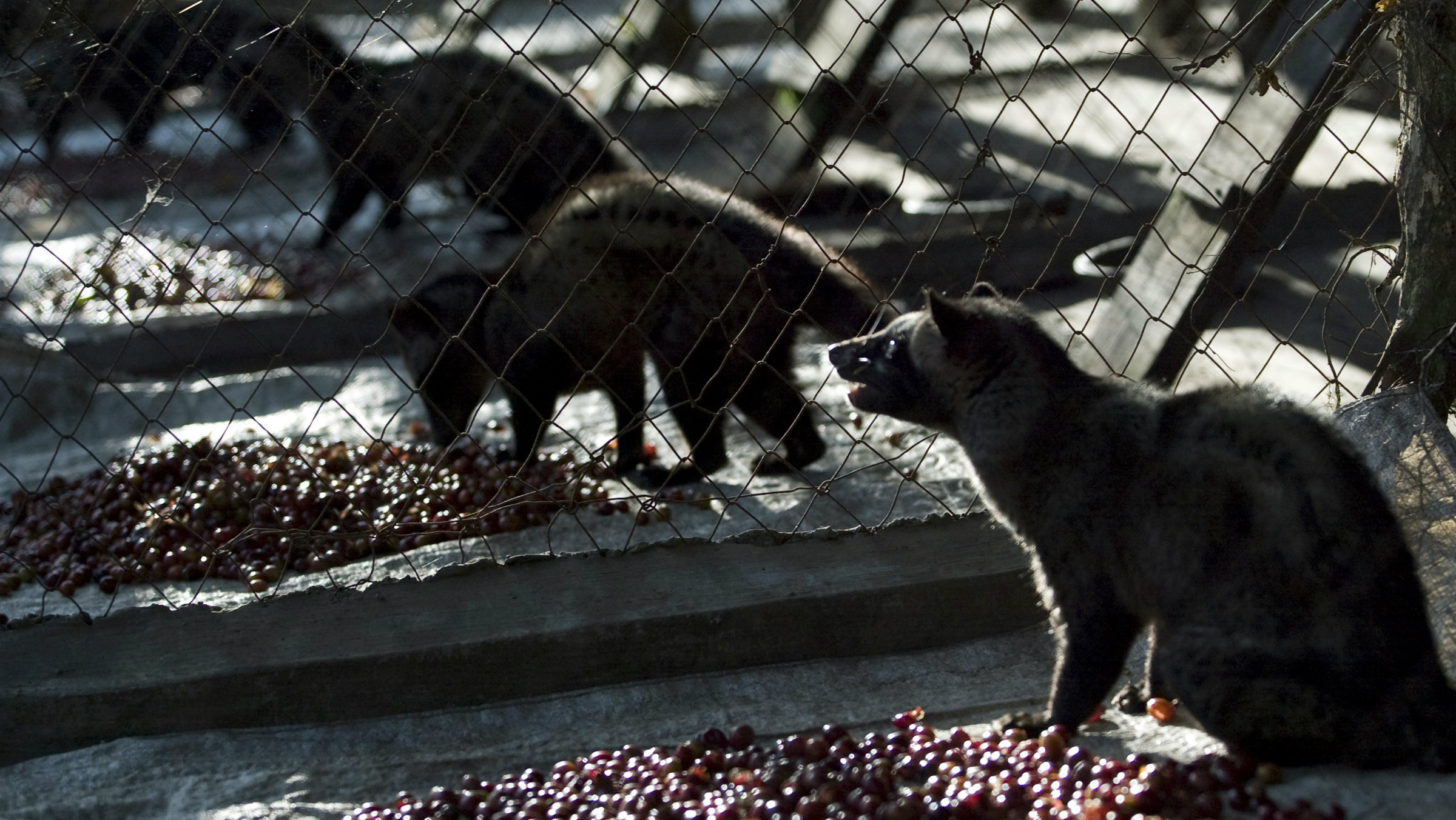 A civet coffee farm in Indonesia.