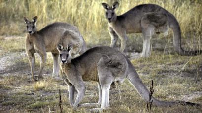 In this March 15, 2008 file photo, kangaroos are seen at the Belconnen Naval Transmission Station near Canberra, Australia. They bounce across the roof of Parliament House. They collide with cars. They come in through the bedroom window. Canberra, Australia's capital, has a problem _ too many kangaroos. (AP Photo/Mark Graham