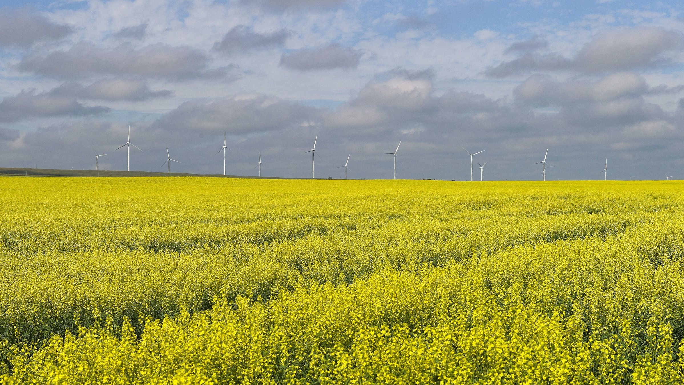 A canola crop used for making cooking oil sits in full bloom on the Canadian prairies with windmills in the background near Fort Macleod, Alberta, July 11, 2011. REUTERS/Todd Korol  (CANADA - Tags: ENVIRONMENT FOOD AGRICULTURE BUSINESS) - RTR2ORKJ