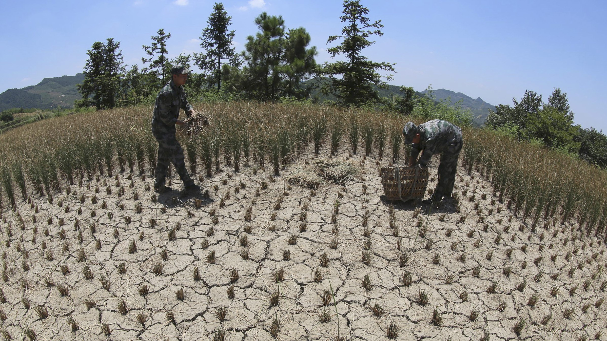 Militia cut off damaged crops under the summer heat after a drought hit Loudi, Hunan province, July 31, 2013. The city has seen 33 days of the summer heat with it's highest temperatures soaring up to 35 degree celsius (95 Fahrenheit). Picture taken July 31, 2013. REUTERS/Stringer (CHINA - Tags: ENVIRONMENT AGRICULTURE) CHINA OUT. NO COMMERCIAL OR EDITORIAL SALES IN CHINA - RTX126JZ