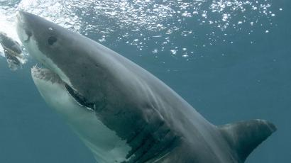 This undated publicity image released by Discovery Channel shows a great white shark off the coast of New Zealand. Shark Week begins Sunday, Aug. 4 at 9 p.m. EST on Discovery. (AP Photo/Discovery Channel, Jeff Kurr