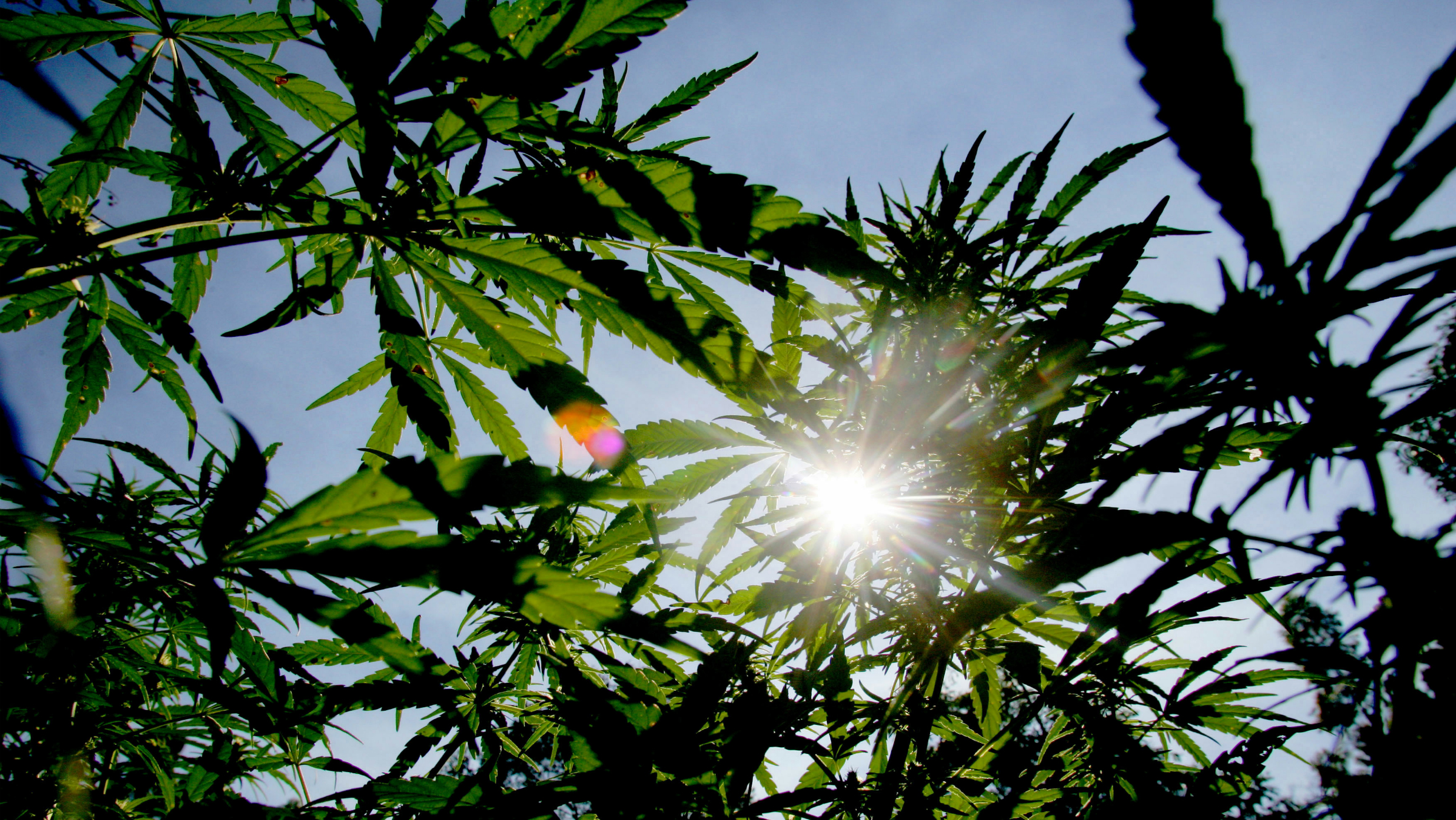 """The sun shines though the distinctively shaped leaves of marijuana plants during police raid in the remote northern Hhohho region in Swaziland, May 24, 2005. Police say they they are fighting a losing battle to destroy crops of """"Swazi Gold"""", prized for its potency around the world. Marijuana is the most lucrative cash crop for peasants struggling with drought, unemployment and HIV/AIDS."""