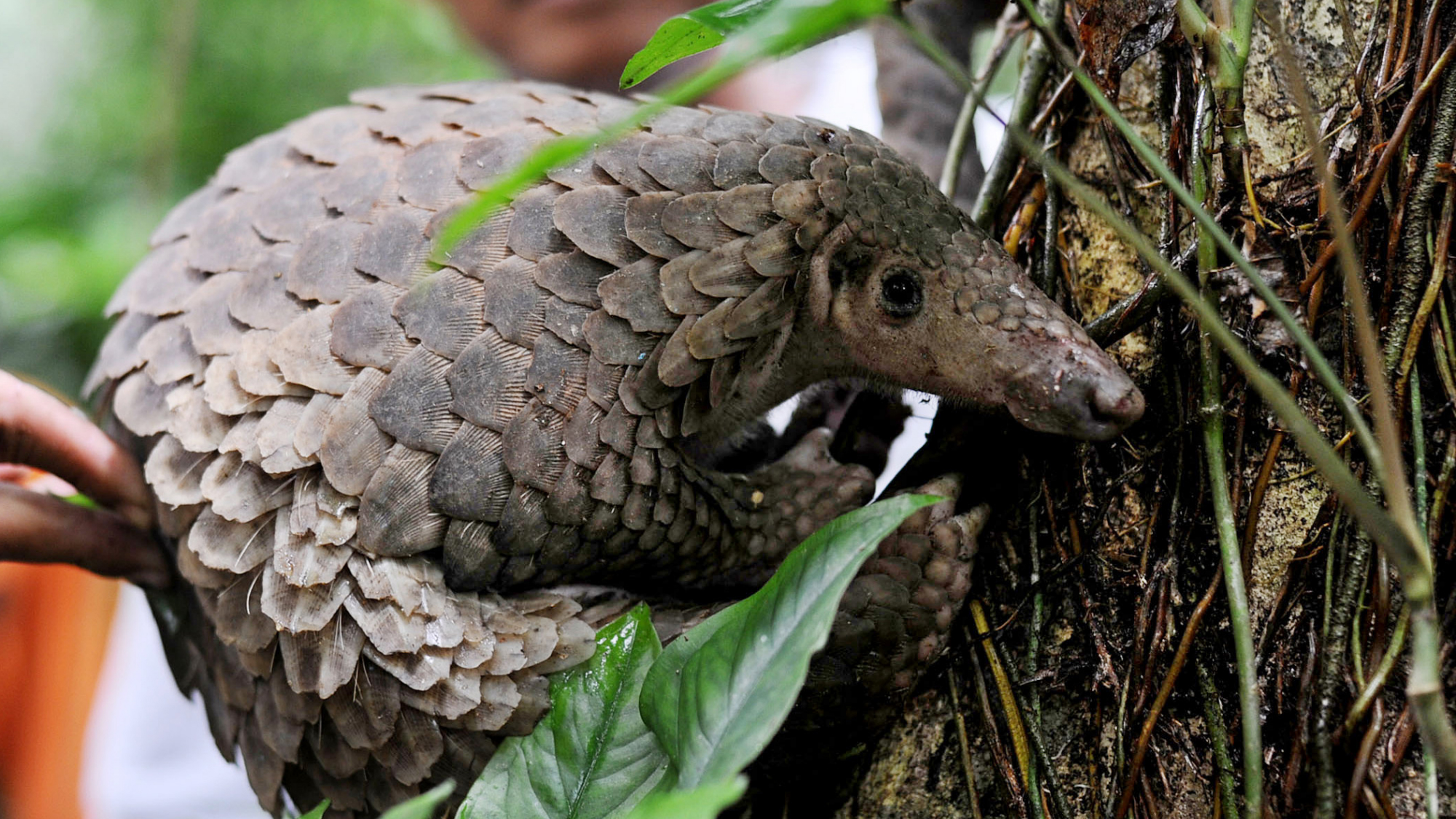 A pangolin is released into the wild by Natural Resources Conservation Agency (BKSDA) officials at a conservation forest in Sibolangit, North Sumatra, Indonesia, Friday, March 1, 2013. The anteater is part of 128 pangolins confiscated by customs officers from a smuggler's boat off Sumatra island as it was heading for Malaysia last week. (AP Photo/Jefri Tarigan
