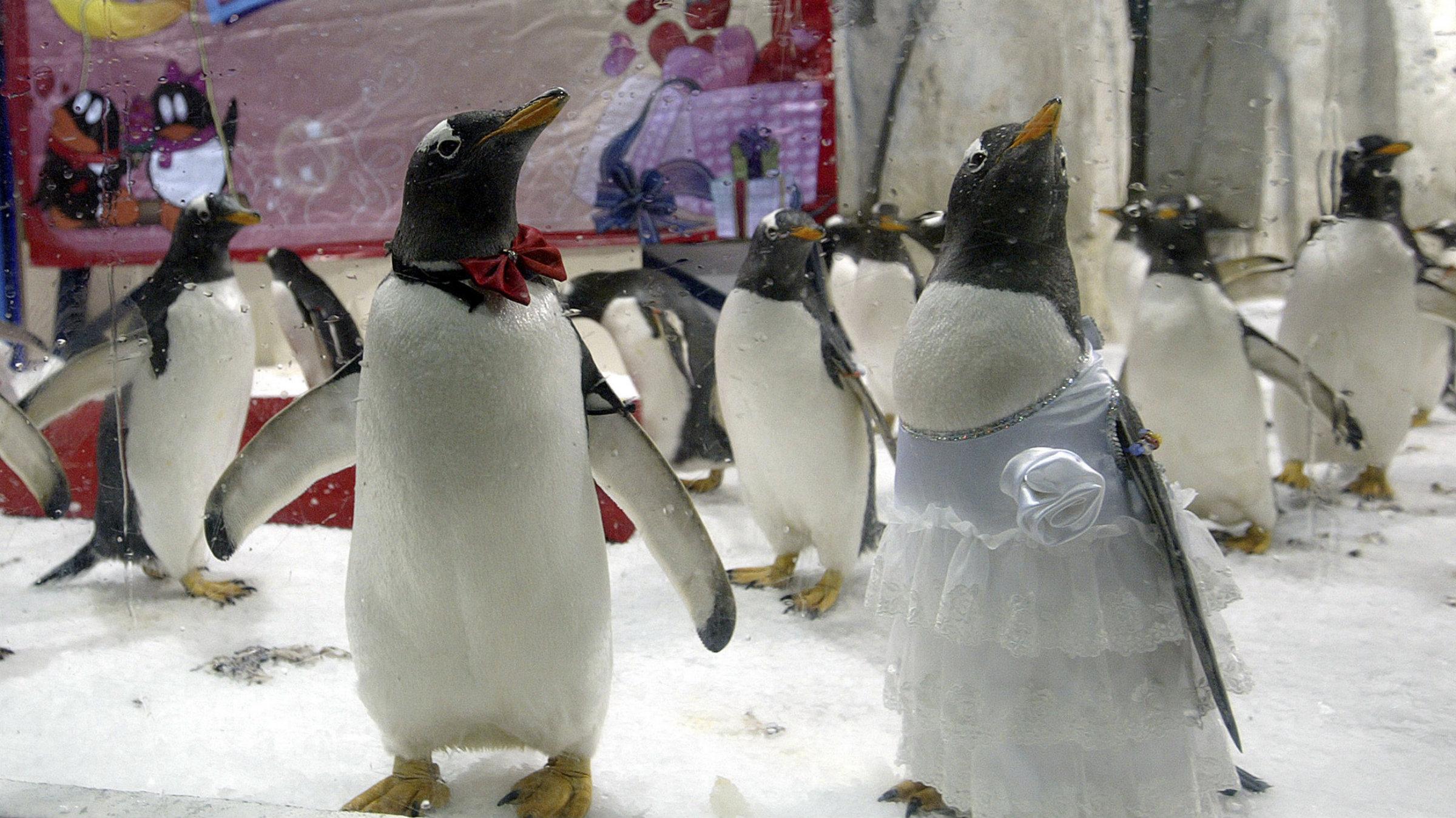 penguinbridegroom