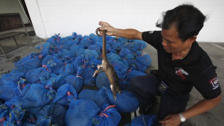 A customs officer shows a pangolin to the media at the customs department in Bangkok September 26, 2011. Officers stopped a pick-up truck carrying 97 pangolins, worth around 1 million baht ($32,372), in the southern province of Prachuap Khiri Khan on Sunday. According to custom officers, the pangolins were en route to be sold in China. REUTERS/Chaiwat Subprasom