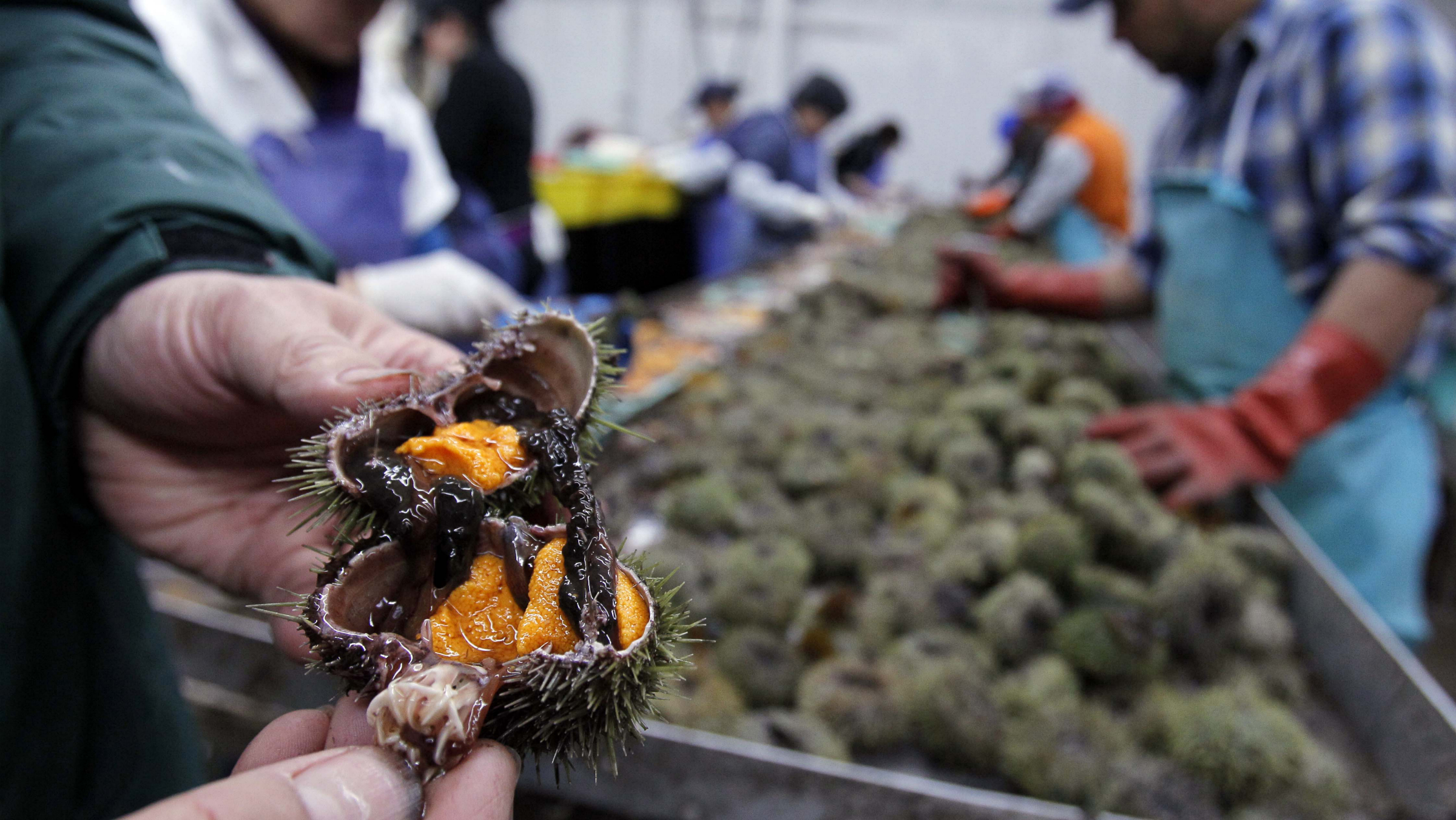 In this Dec. 22, 2011 photo, orange roe is seen inside a sea urchin at a processing facility in Portland, Maine. During the heyday, Maine urchin fishermen harvested more than 40 million pounds of the spiny creatures a year. A move is now under way to jumpstart the industry, which has fallen on hard times. (AP Photo/Robert F. Bukaty