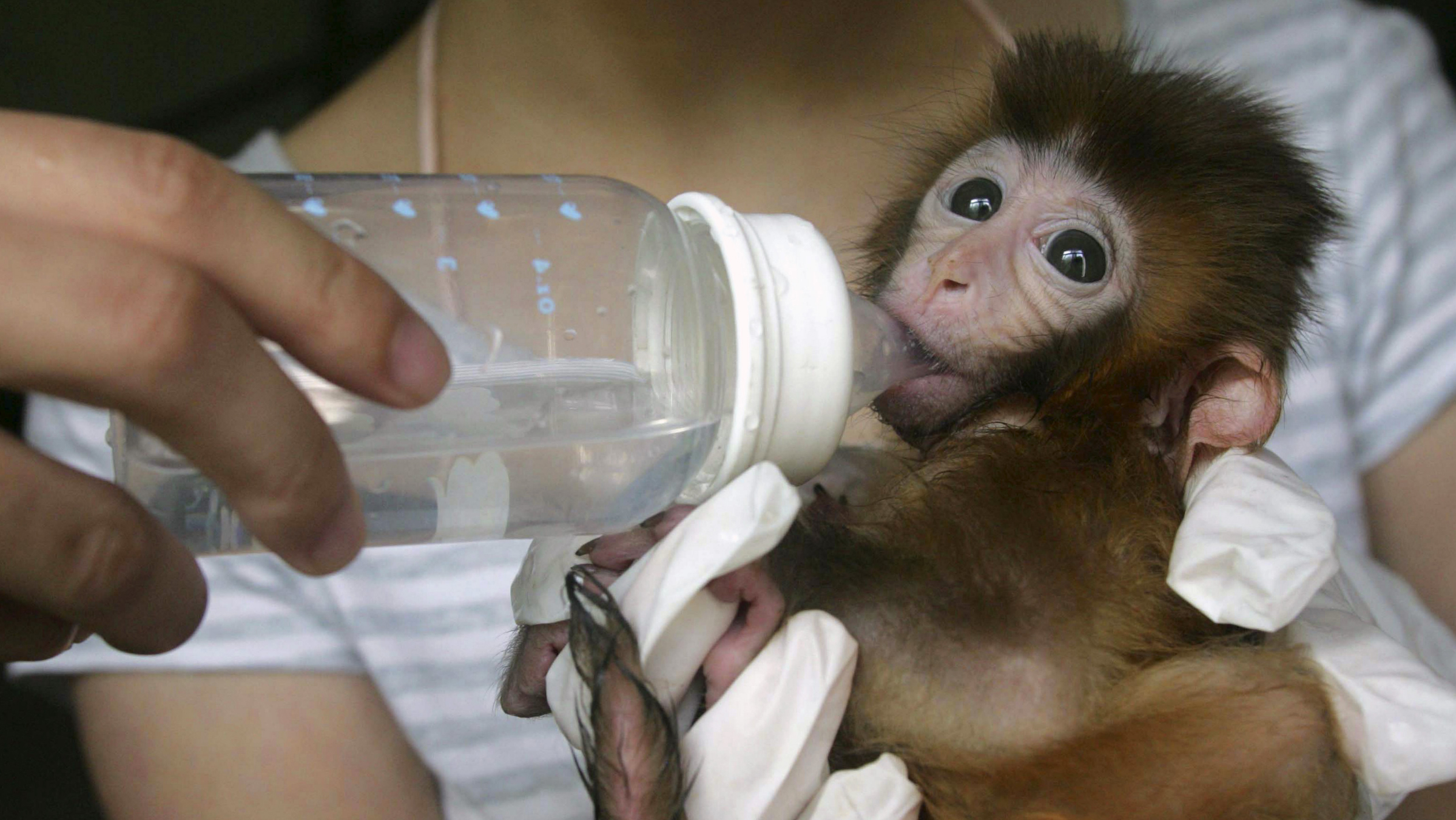 A baby macaque is fed water at a wildlife aid centre in Wuhan, Hubei province July 1, 2009. The centre has been taking care of the macaque since its mother died of intestinal infarction five days after giving birth, according to China Daily. Picture taken July 1, 2009. REUTERS/China Daily
