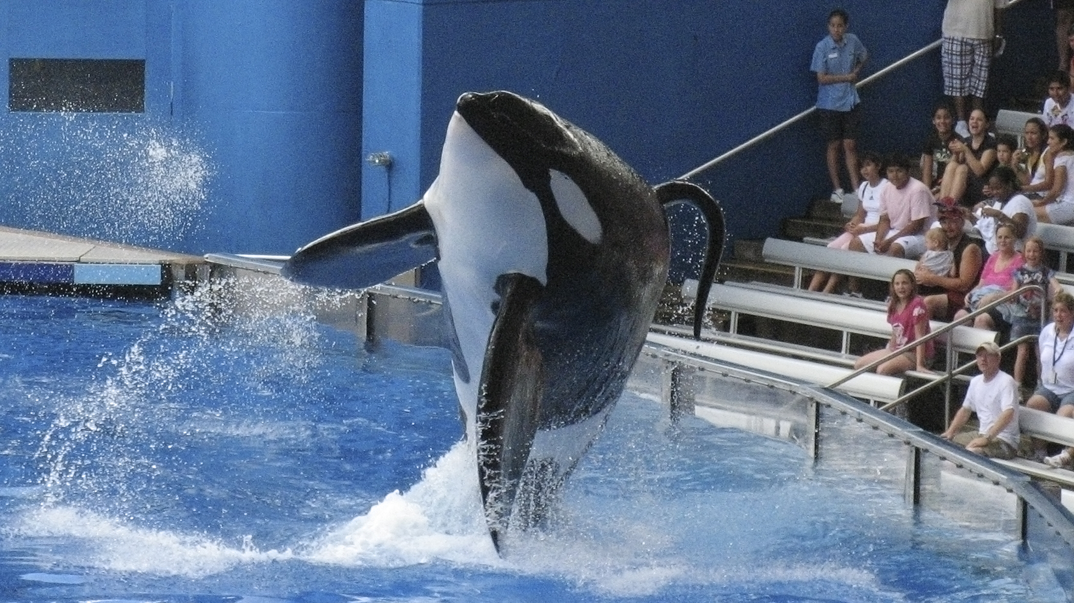 """Tillikum, a killer whale at SeaWorld amusement park, performs during the show """"Believe"""" in Orlando, in this September 3, 2009 file photo. Tillikum, who last year drowned a trainer at SeaWorld, performed publicly on March 30, 2011 for the first time since the death. REUTERS/Mathieu Belanger"""