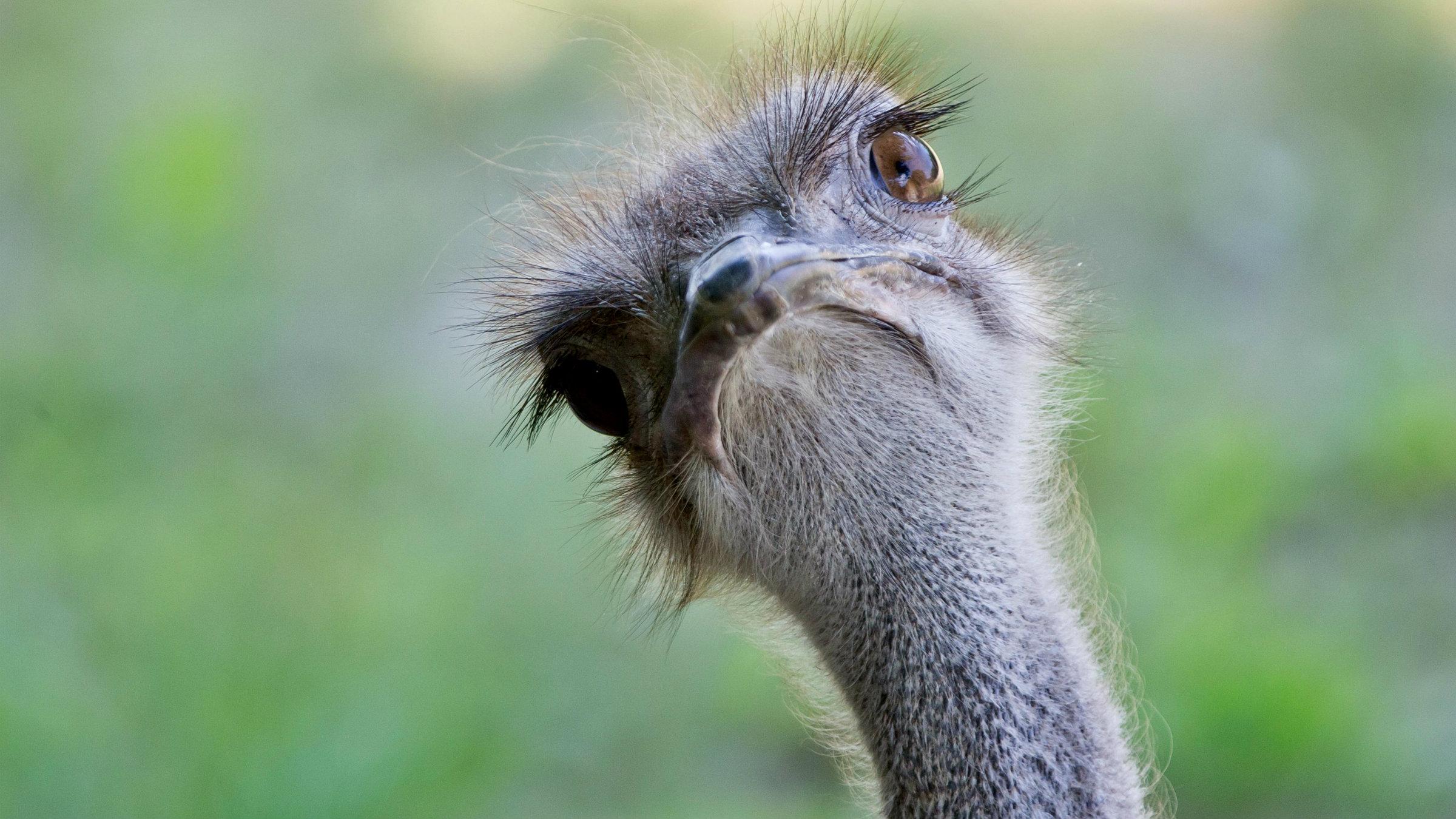 A blue-necked ostrich.
