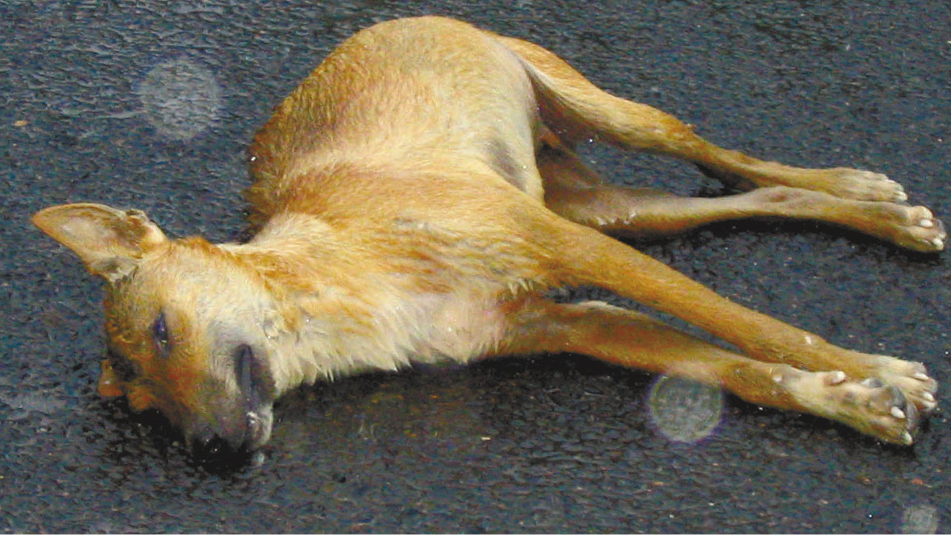An Australian dingo (wild dog) lies dead on a rain-soaked highway in the Queensland outback in this undated handout photograph. Australia is fighting simultaneous swarms of countless locusts, rampaging attacks on sheep by wild dogs and new outbreaks of mice. The island continent's vast uncontrolled spaces make it one of the hardest hit by pests. TO ACCOMPANY FEATURE LIFE-AUSTRALIA-PESTS FOR EDITORIAL USE ONLY REUTERS/Handout/AgForce Queensland