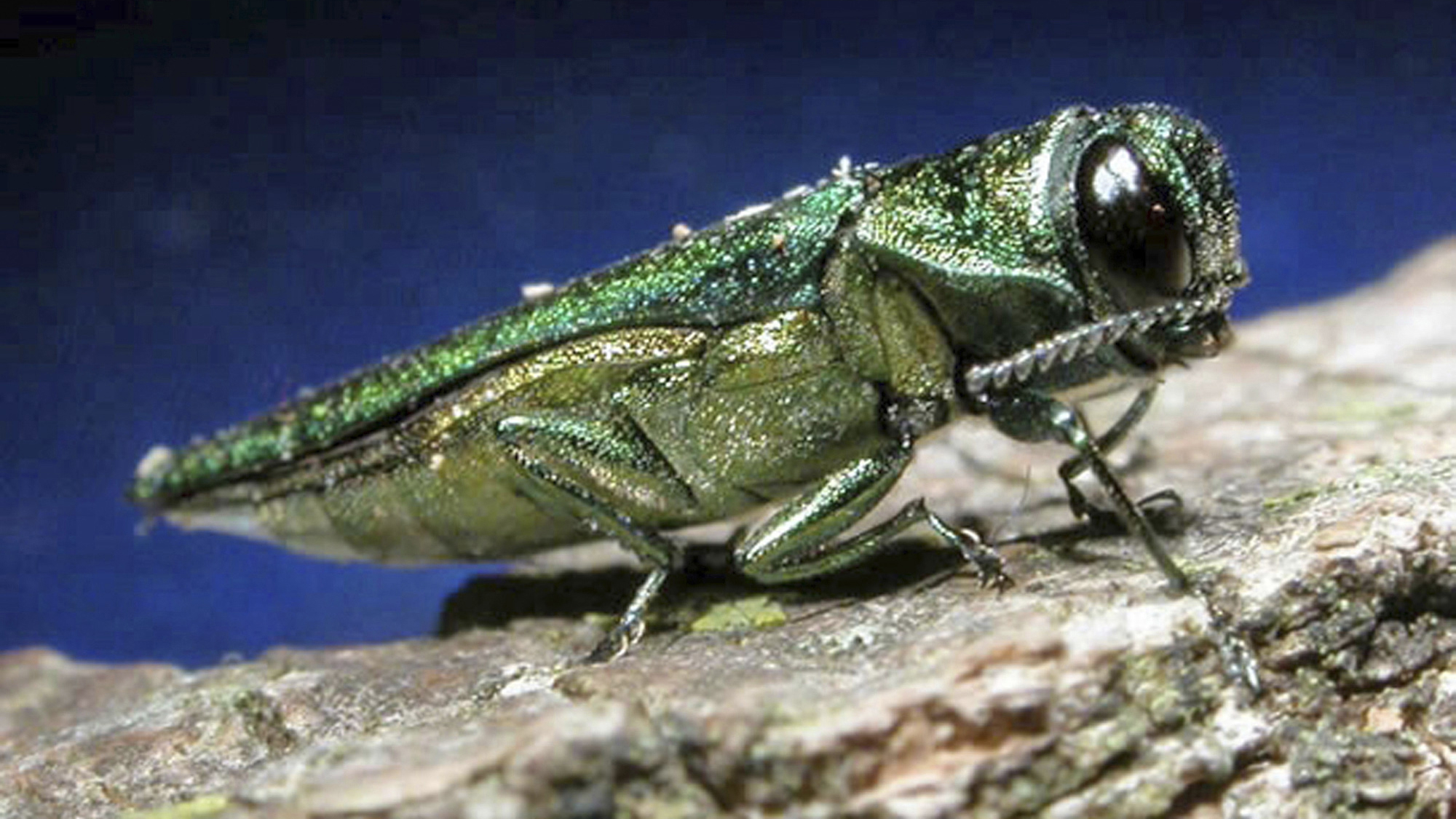 This undated file photo provided by the Minnesota Department of Natural Resources shows an adult emerald ash borer. The insect that could threaten one of South Dakota's most populous tree species moved even closer to the state in the past year. The emerald ash borer last year was found in Union County in southwestern Iowa, as well as in Boulder, Colo. South Dakota State University forestry expert John Ball said he thinks the Asian beetle will be found in South Dakota within five years. (AP Photo/Minnesota Department of Natural Resources