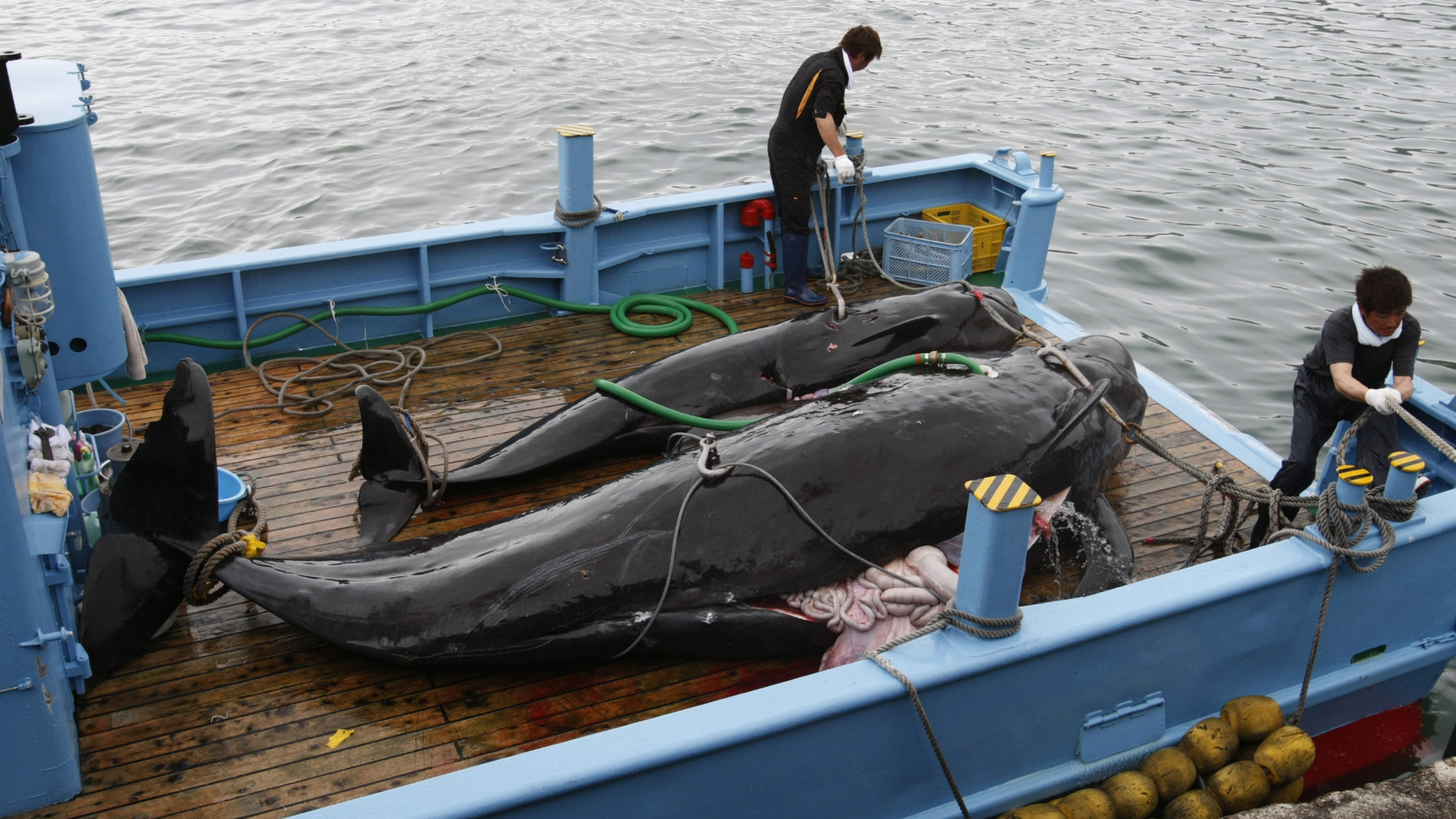 Captured short-finned pilot whales are seen on the deck of a whaling ship at Taiji Port in Japan's oldest whaling village of Taiji, 420 km (260 miles) southwest of Tokyo June 4, 2008. Harsh criticism from conservationists and foreign countries, and changing appetites at home, threaten the whalers' way of life which they say stretch back 400 years. The International Whaling Commission (IWC) banned commercial whaling in 1986, but is now bitterly divided between countries such as Australia that say all whales still need protection, and those such as Japan that argue some species are abundant enough for limited hunting. Picture taken June 4, 2008. To match feature WHALING/JAPAN REUTERS/Issei Kato