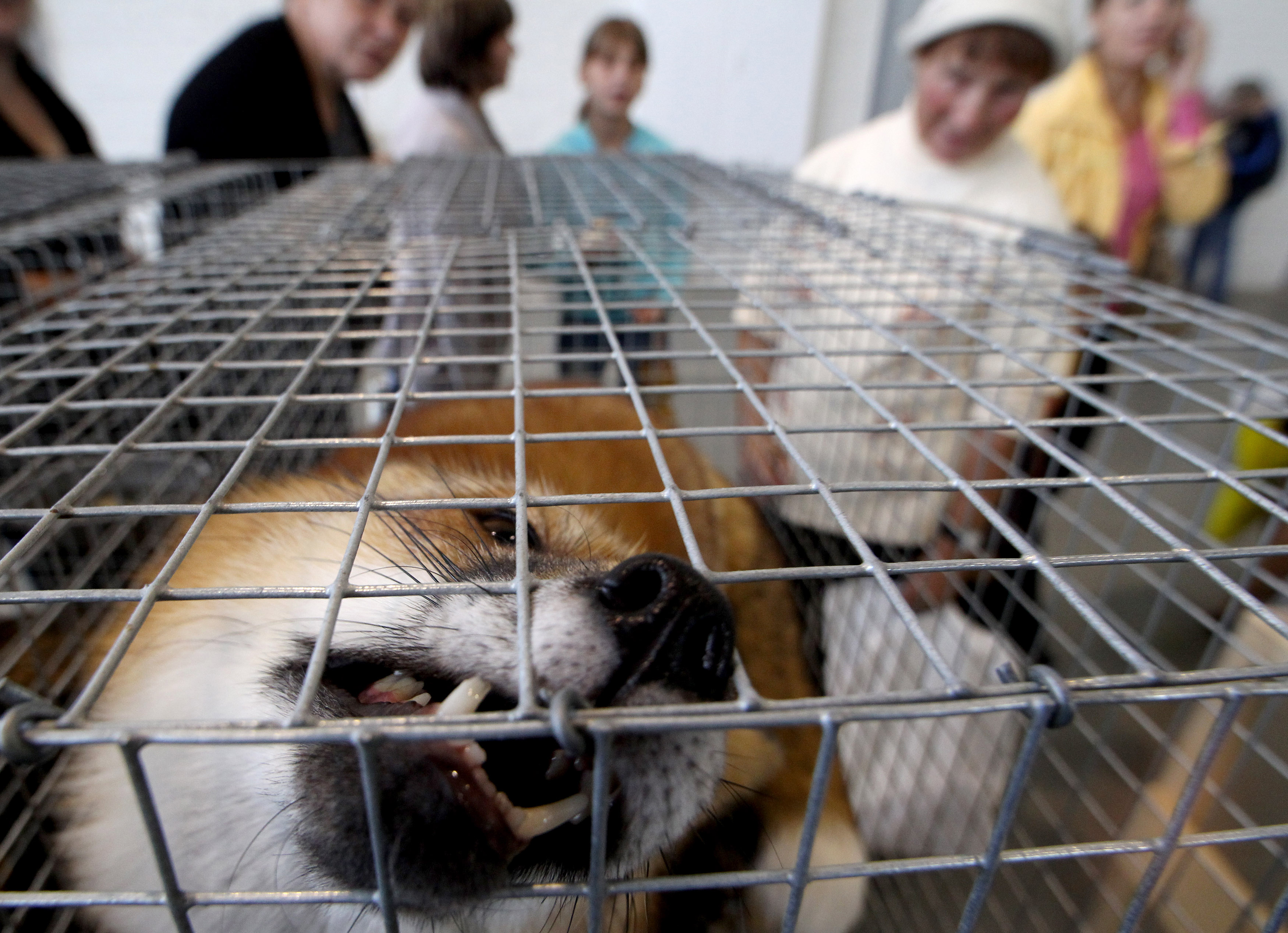 """Visitors stand near a cage with a fox during XIX international agro industrial exhibition called """"Agrorus-2010"""" fair in St. Petersburg, August 25, 2010. The fair exhibits agricultural machinery, agro chemistry and housing construction products, veterinary science and farming goods.  REUTERS/Alexander Demianchuk  (RUSSIA - Tags: AGRICULTURE ENVIRONMENT ANIMALS BUSINESS) - RTR2HIZ6"""
