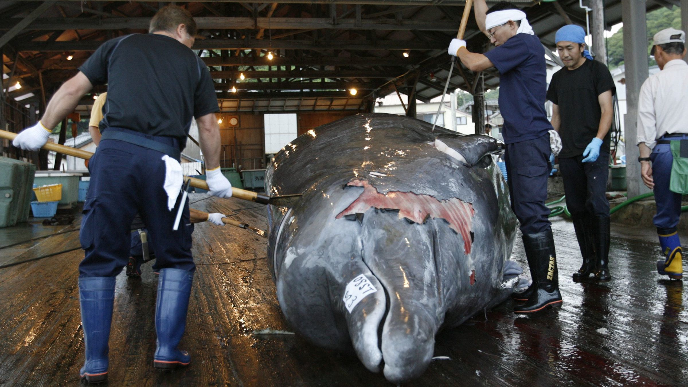 Workers butcher a Baird's Beaked whale at Wada port in Minamiboso, southeast of Tokyo, June 28, 2008. Whales emerged the big losers as a weeklong International Whaling Commission meeting wrapped up in Chile on Friday, conservation groups said after anti-whaling nations failed to halt No. 1 hunter Japan. REUTERS/Toru Hanai (JAPAN) - RTX7F3C