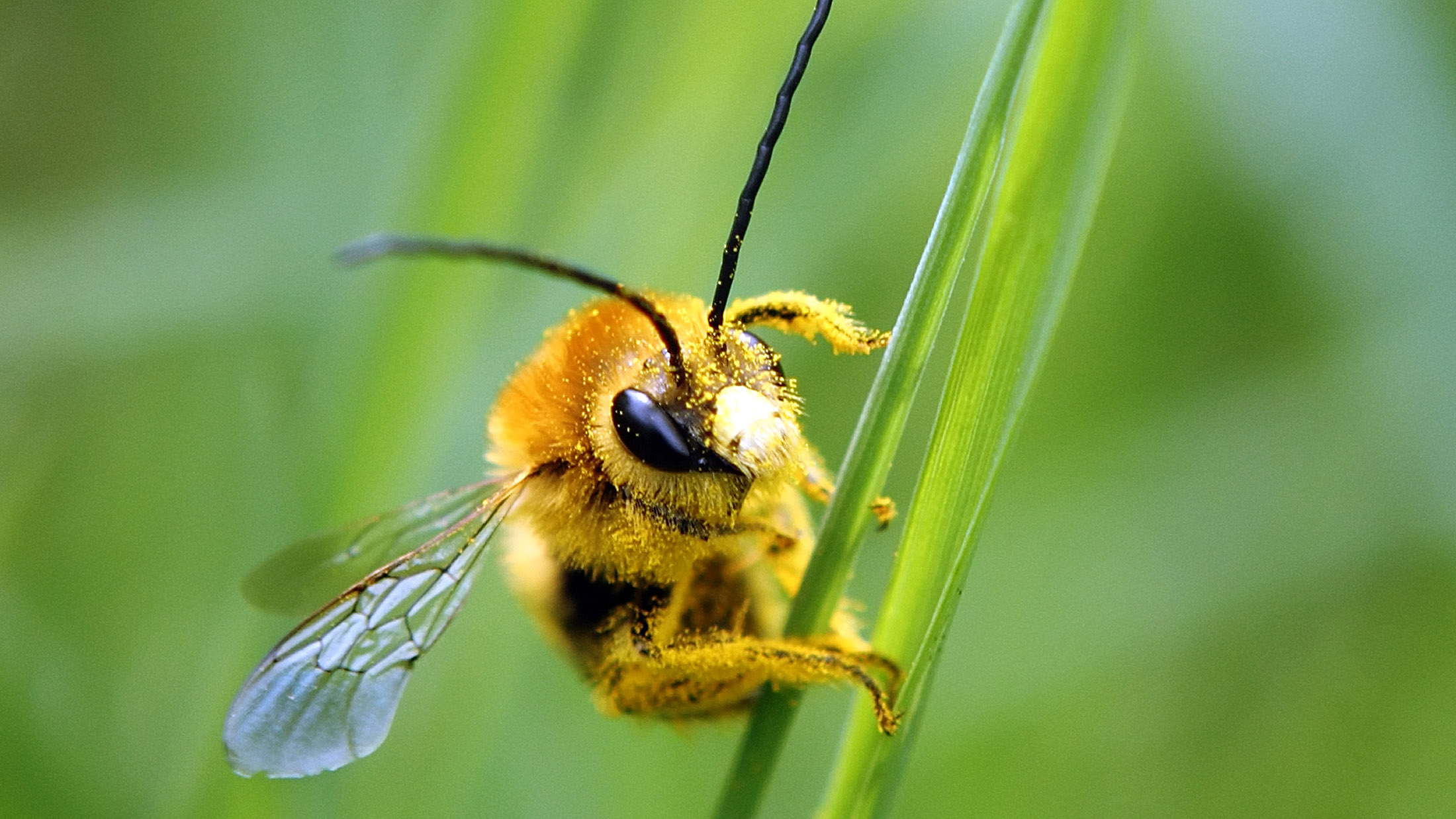 A bee is covered with pollen as it sits on a blade of grass on a lawn in Klosterneuburg April 29, 2013. The European Commission said on Monday it would go ahead and impose a temporary ban on three of the world's most widely used pesticides because of fears they harm bees, despite EU governments failing to agree on the issue. In a vote on Monday, EU officials could not decide whether to impose a two-year ban - with some exceptions - on a class of pesticides known as neonicotinoids, produced mainly by Germany's Bayer and Switzerland's Syngenta. The Commission proposed the ban in January after EU scientists said the chemicals posed an acute risk to honeybees, which pollinate many of the crops grown commercially in Europe. REUTERS/Heinz-Peter Bader