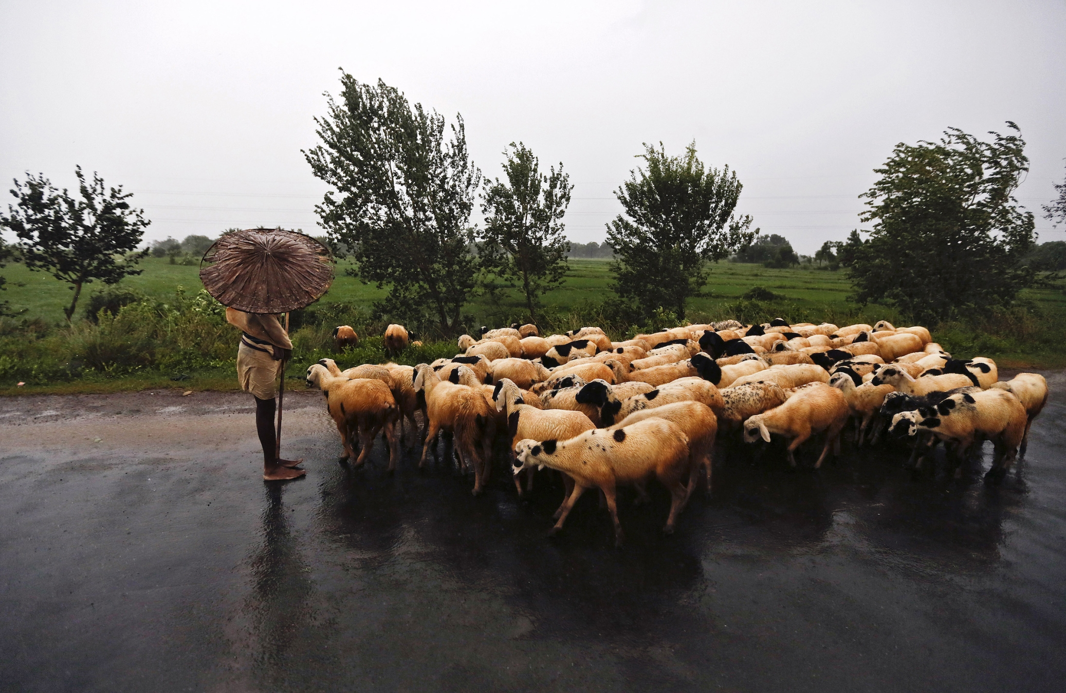 A shepherd holds an umbrella as he stands on a highway with his flock in Srikakulam district in the southern Indian state of Andhra Pradesh October 12, 2013. Rain and wind lashed India's east coast on Saturday, forcing more than 400,000 people to flee to storm shelters as one of the country's largest cyclones closed in, threatening to cut a wide swathe of devastation through farmland and fishing hamlets. Filling most of the Bay of Bengal, Cyclone Phailin was about 90 km (124 miles) off the coast by late afternoon and was expected to strike the coast by nightfall with winds of between 210 kph (130 mph) and 220 kph (137 mph). REUTERS/Adnan Abidi (INDIA - Tags: ENVIRONMENT DISASTER TPX IMAGES OF THE DAY) - RTX148VY