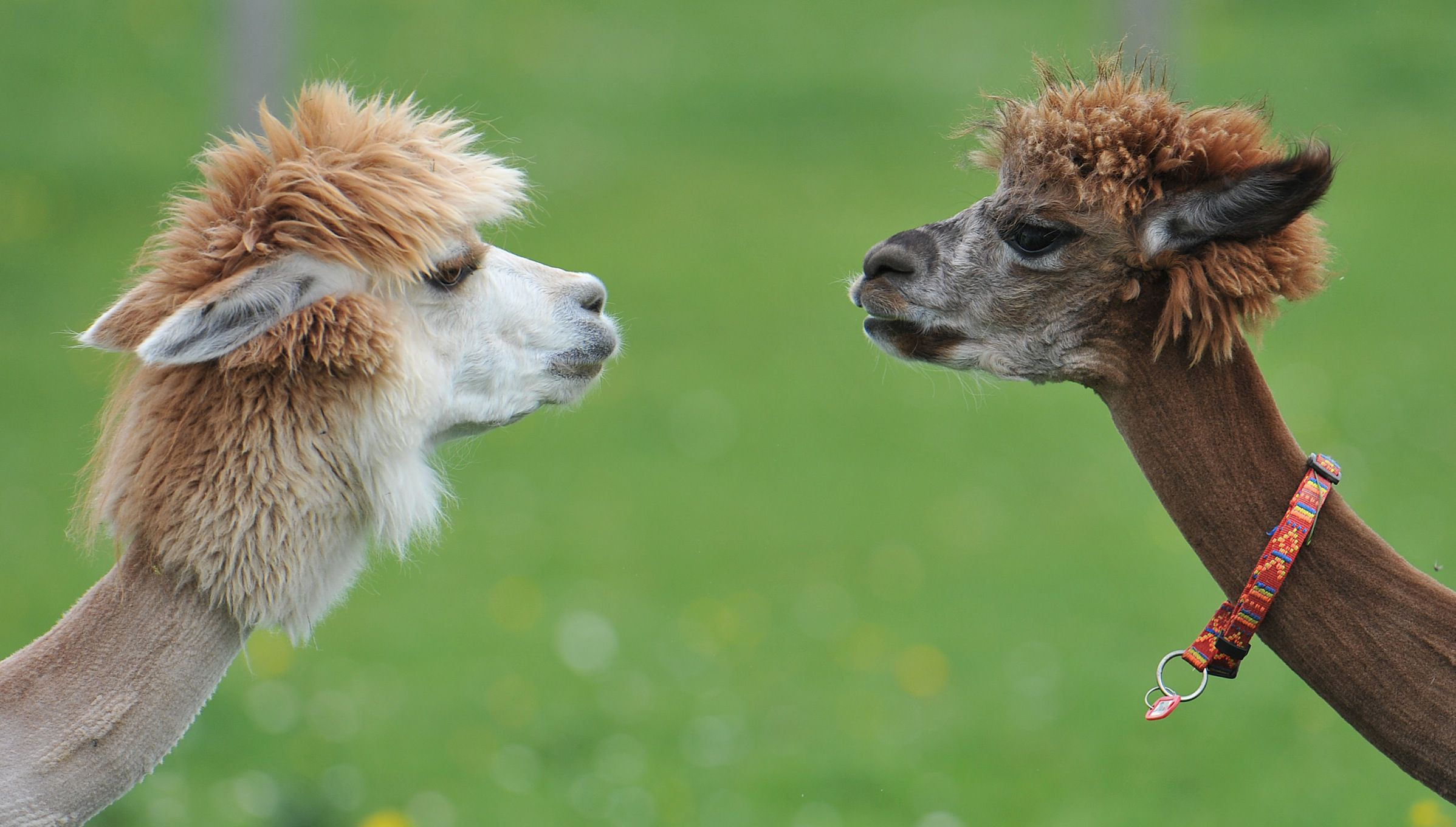 Two freshly shaved alpacas stand on a green field at Alpaca-Land farm in Goeming in the Austrian province of Salzburg, Sunday April, 29, 2012. The annual shearing is done in the spring to make the animals more comfortable for the summer months. This will give them plenty of time to grow a thick new coat before winter. (AP Photo/Kerstin Joensson)